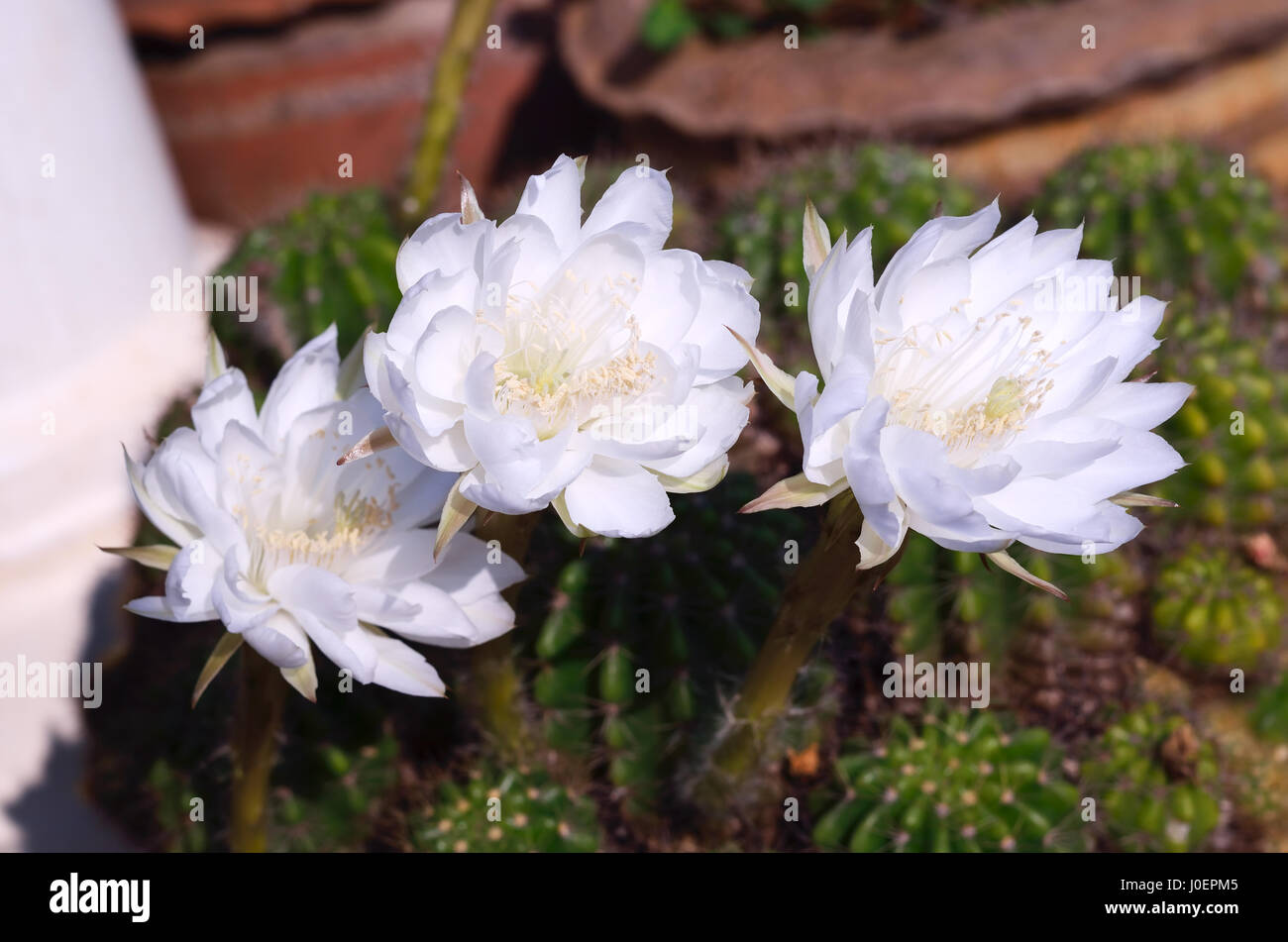 Beautiful White Cactus Flower In Thailand Stock Photo 138008085 Alamy