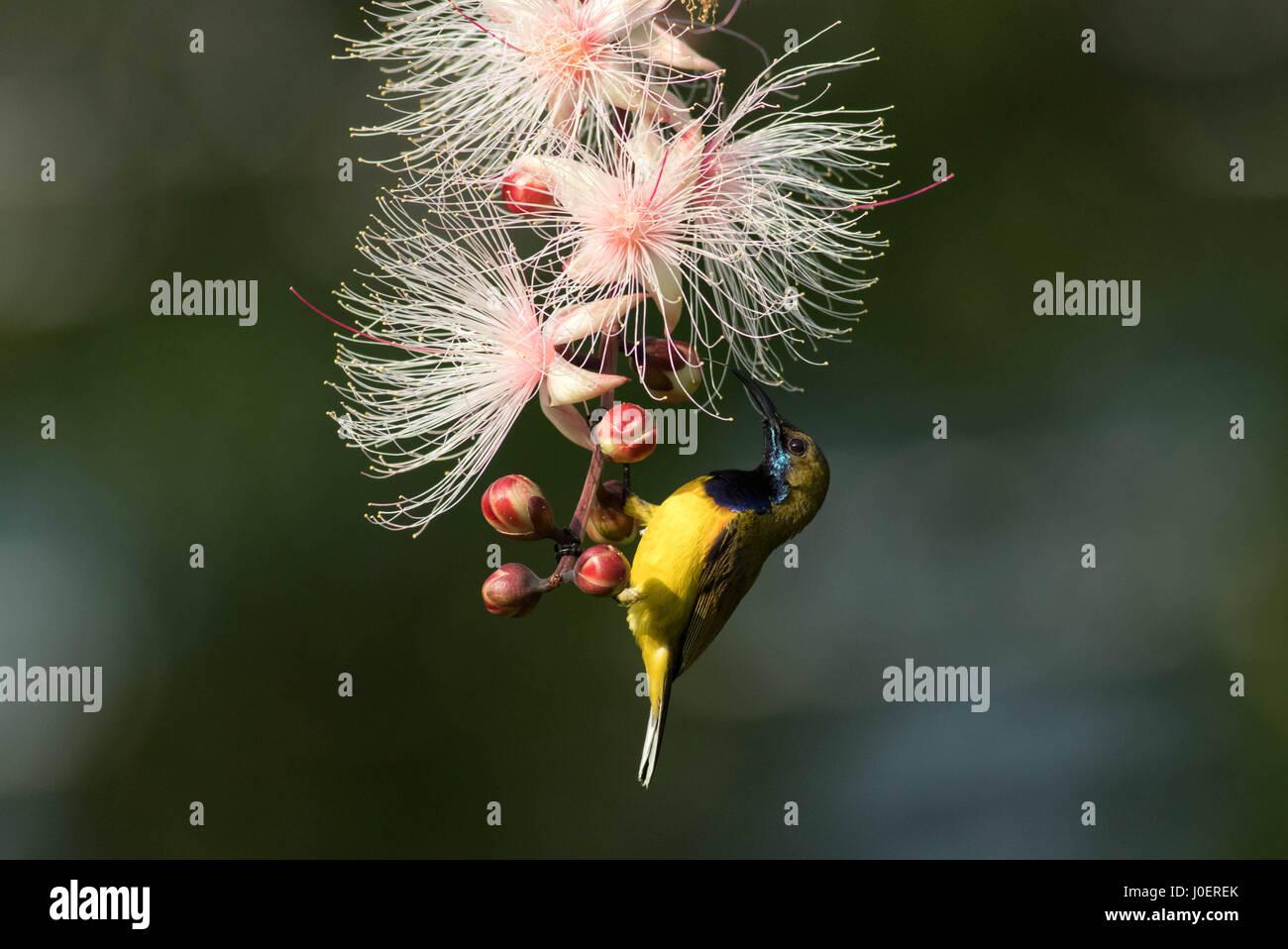 Olive-backed Sunbird feeding on nectar in the gardens of Khoo Teck Phuat Hospital, Singapore. - Stock Image