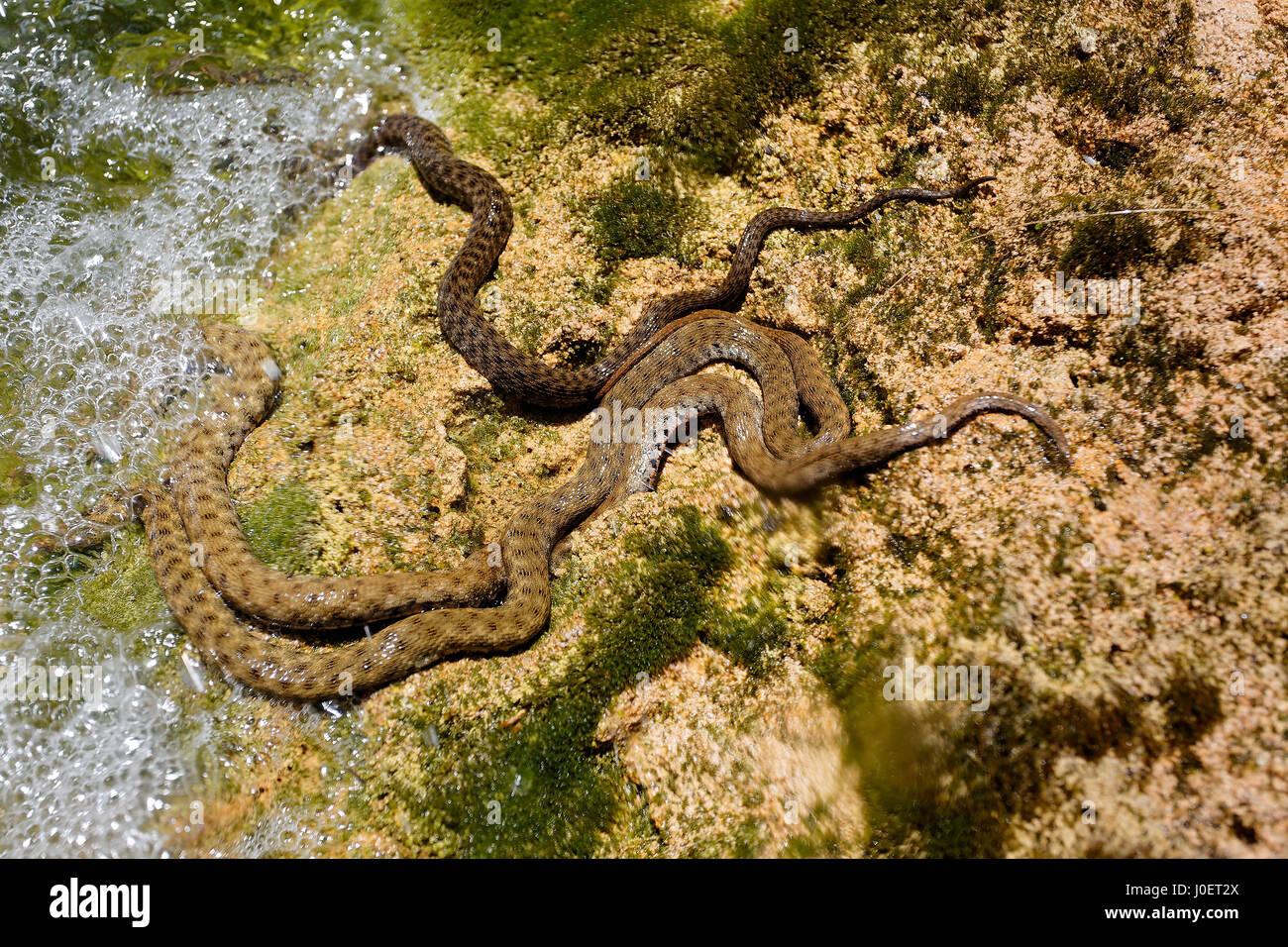 dice snakes in ambush - Stock Image