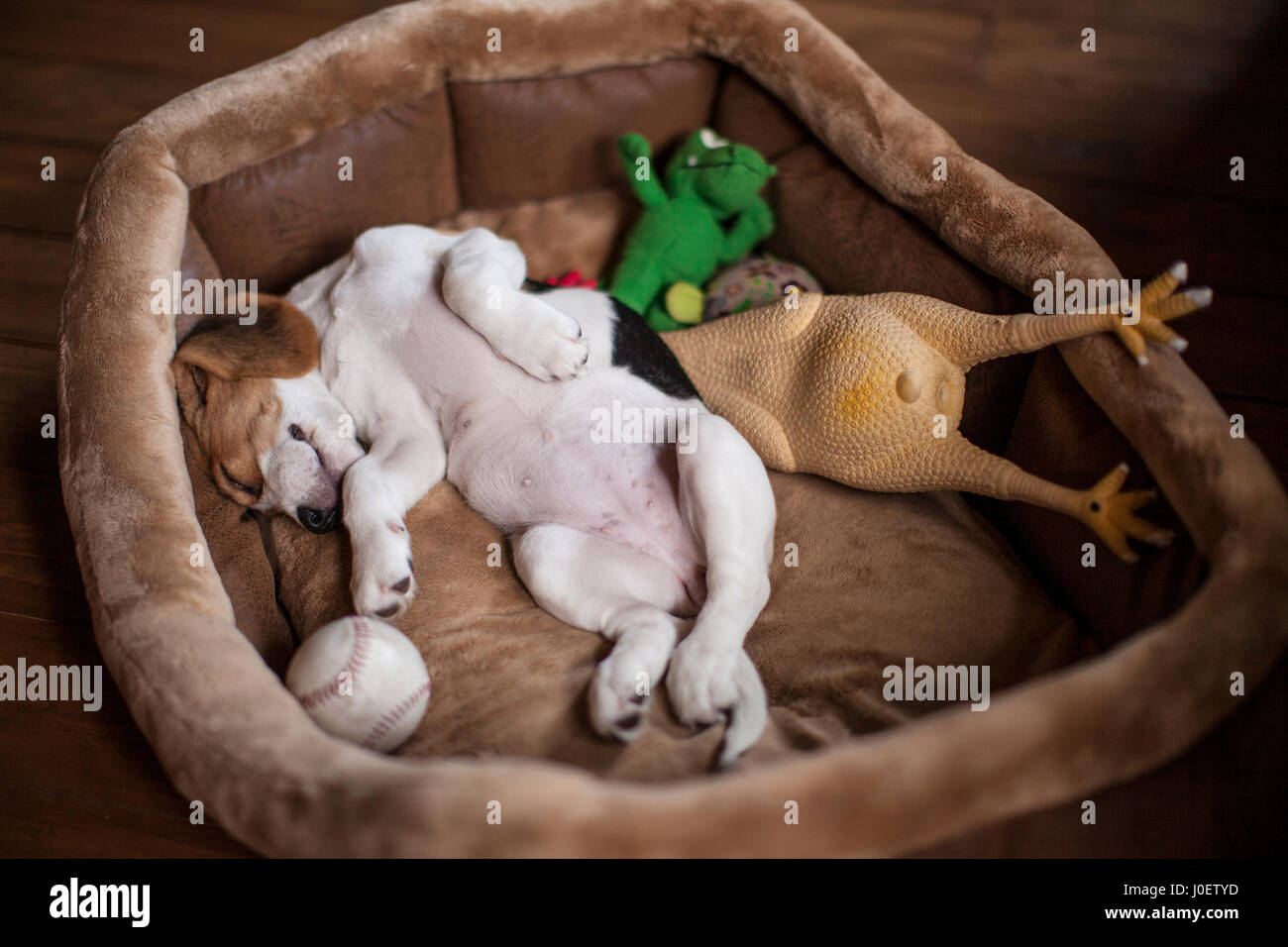 Cute little beagle puppy sleeping in dog bed with its toys. - Stock Image