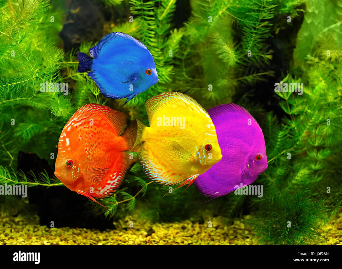 Fishes in different color in water Stock Photo: 138014037 - Alamy