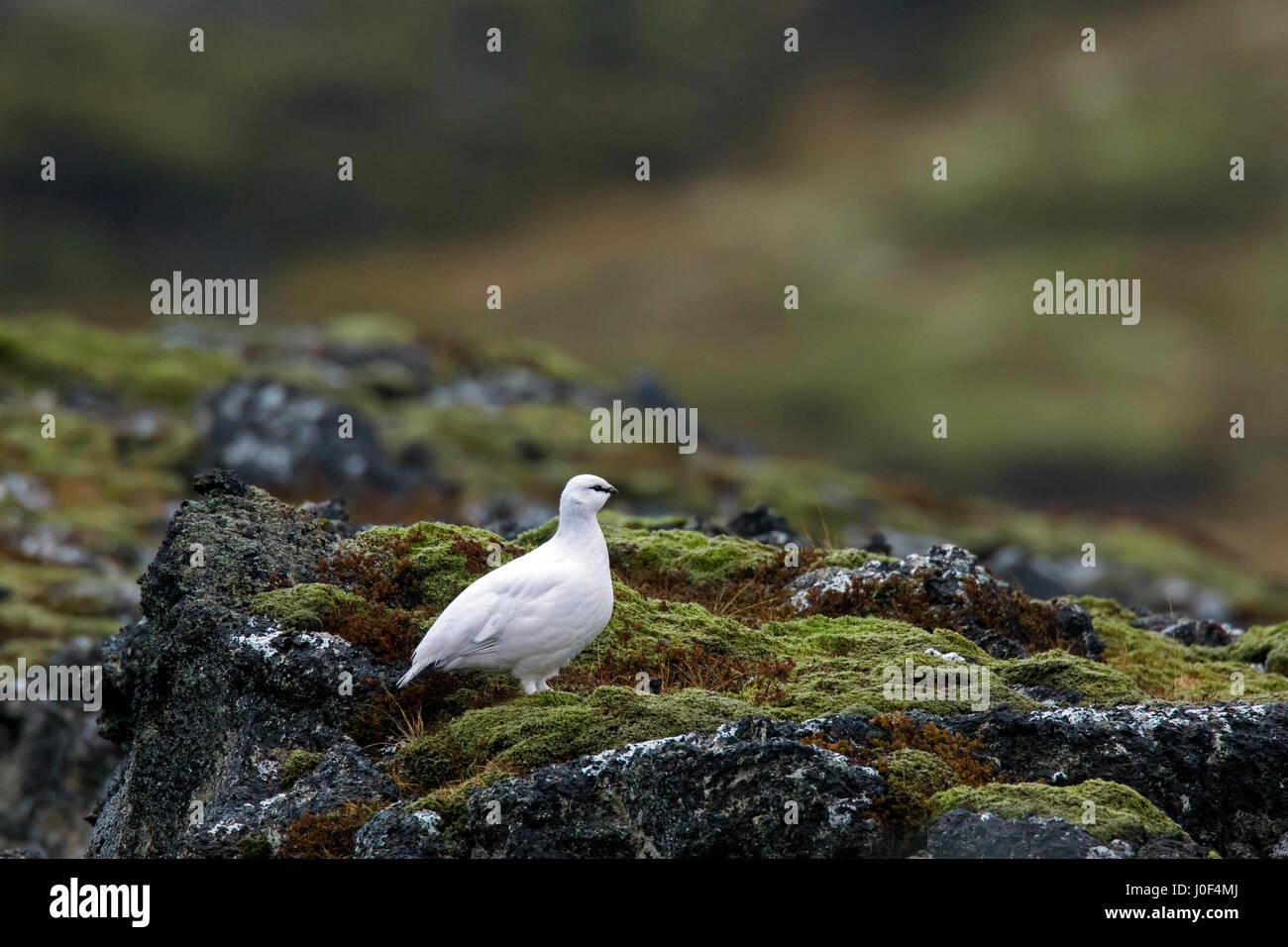 Rock ptarmigan (Lagopus muta / Lagopus mutus) female in winter plumage - Stock Image