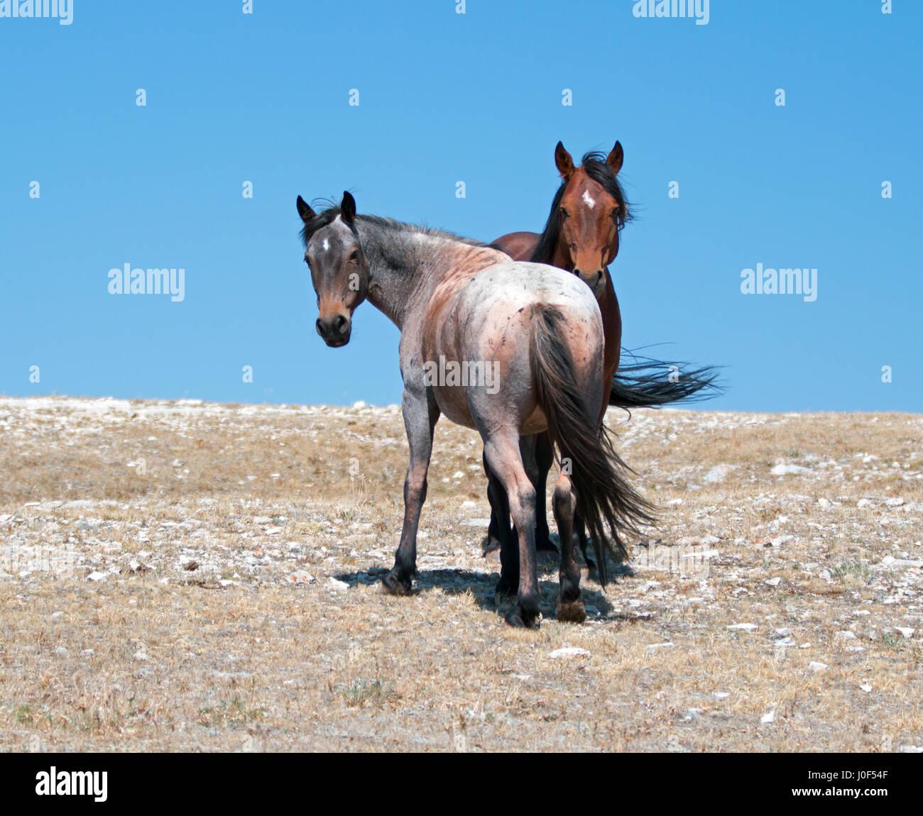 Strawberry Roan Horse Stock Photos & Strawberry Roan Horse ... - photo#18