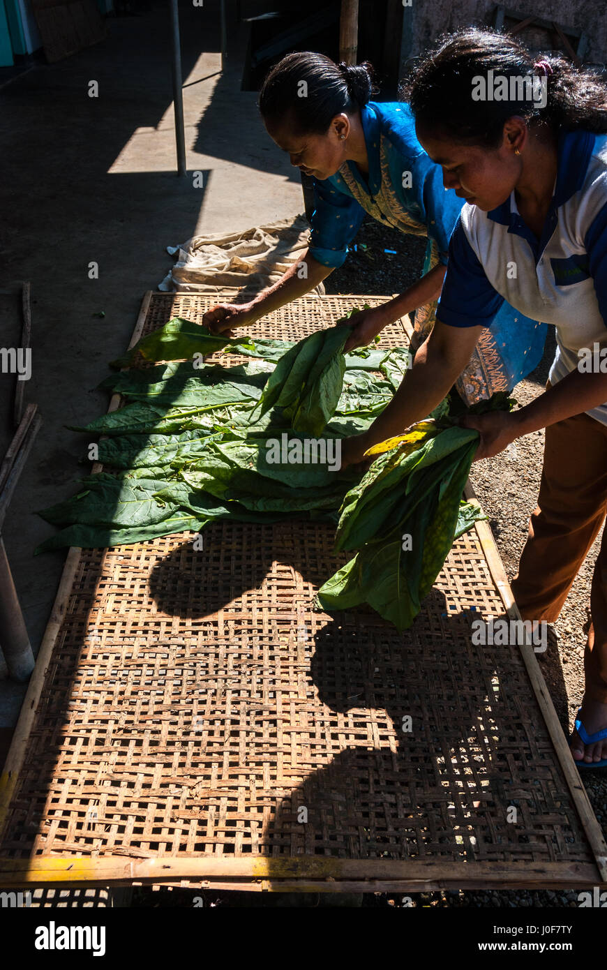 Women drying tobacco leaves in Temanggung, Central Java, Indonesia. - Stock Image