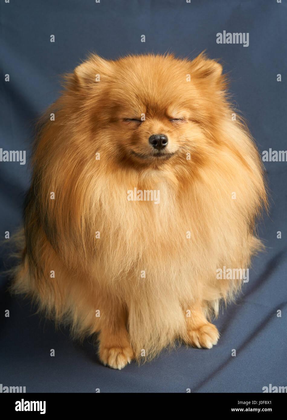 Pomeranian Dog Show Stock Photos & Pomeranian Dog Show ...