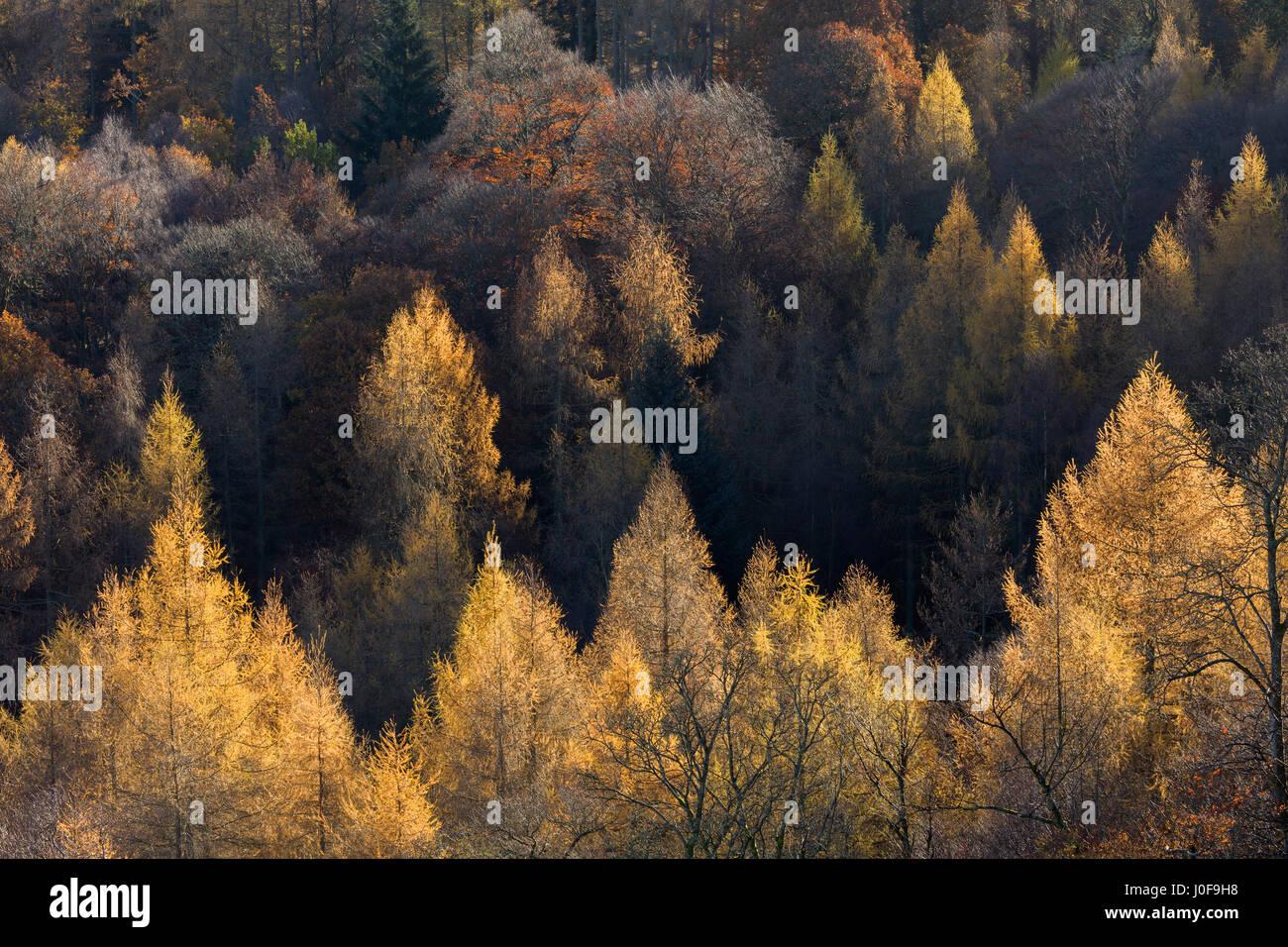 Late autumn woodland at Brandlehow Borrowdale Cumbria UK - Stock Image