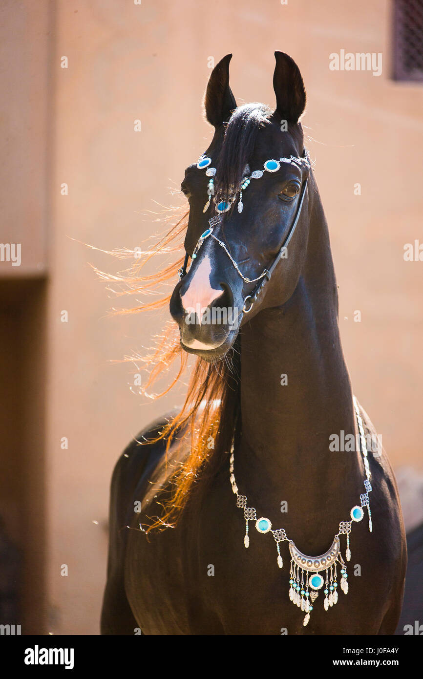 Arabian Horse Portrait Of Black Stallion With Traditional Halter Stock Photo Alamy