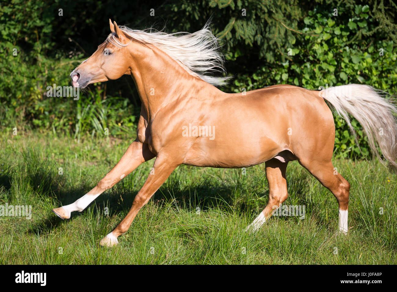 Anglo Arabian Palomino Stallion Galopping On High Resolution Stock Photography And Images Alamy