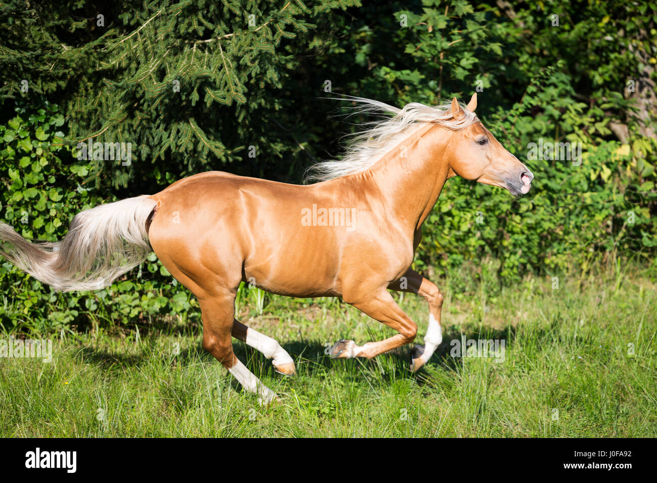 Anglo Arabian Palomino Stallion Galopping On A Pasture Austria Stock Photo Alamy