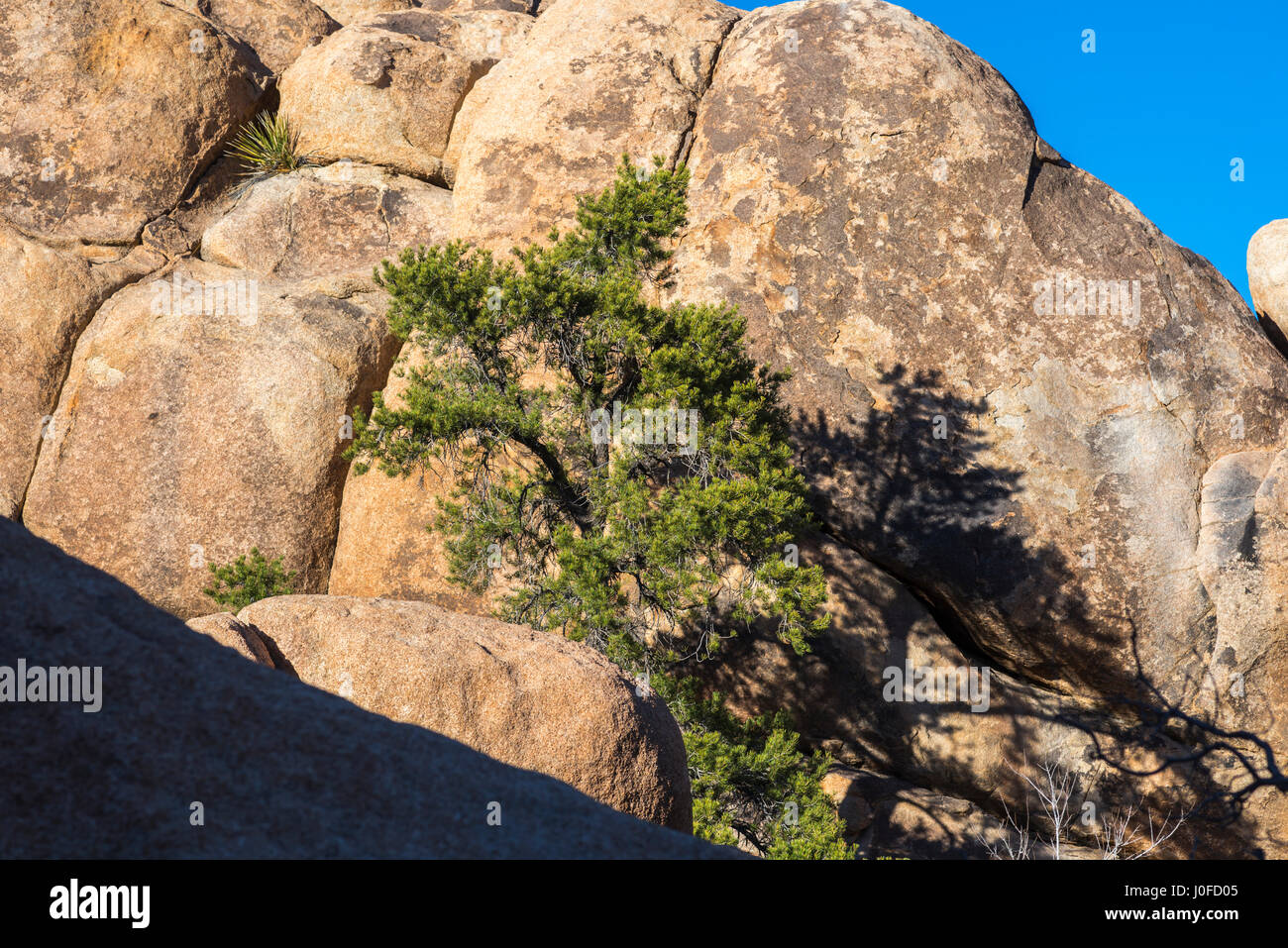 Pine tree among rock formations on the Barker Dam Loop Trail. Joshua Tree National Park, California, USA. - Stock Image