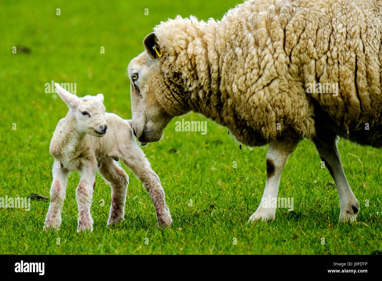 Ewe tends to her newly born lamb in springtime - Stock Image