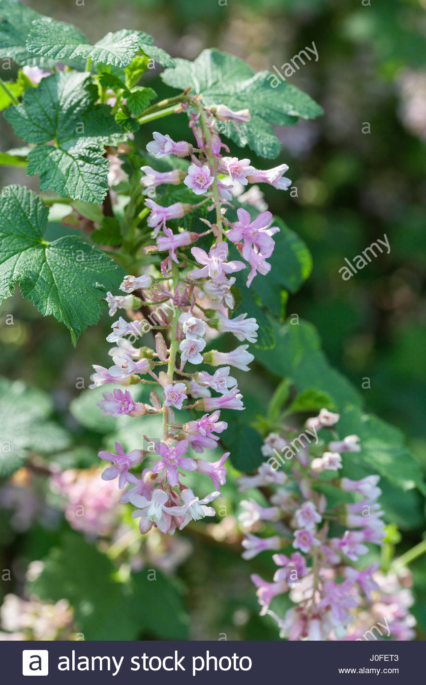 Ribes sanguineum tydemans white flowering currant in spring ribes sanguineum tydemans white flowering currant in spring mightylinksfo
