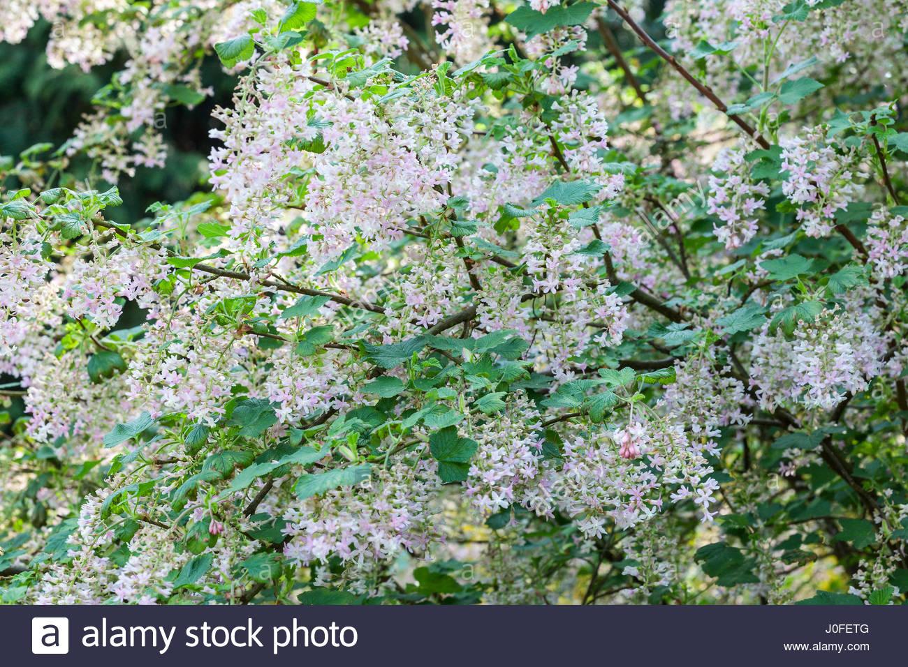 White flowering currant stock photos white flowering currant stock ribes sanguineum tydemans white flowering currant in spring mightylinksfo