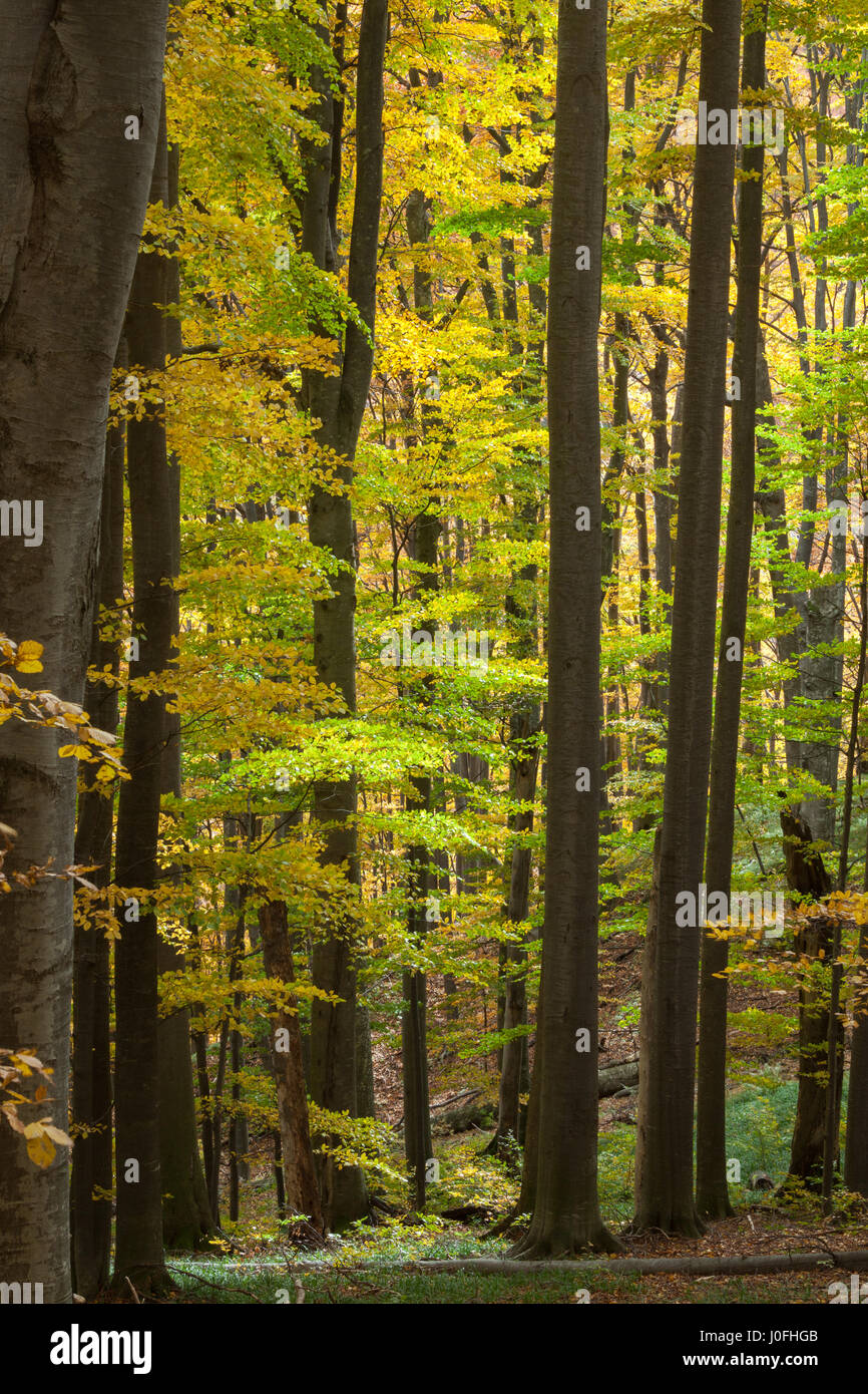 Large beech trees in the forest - Stock Image