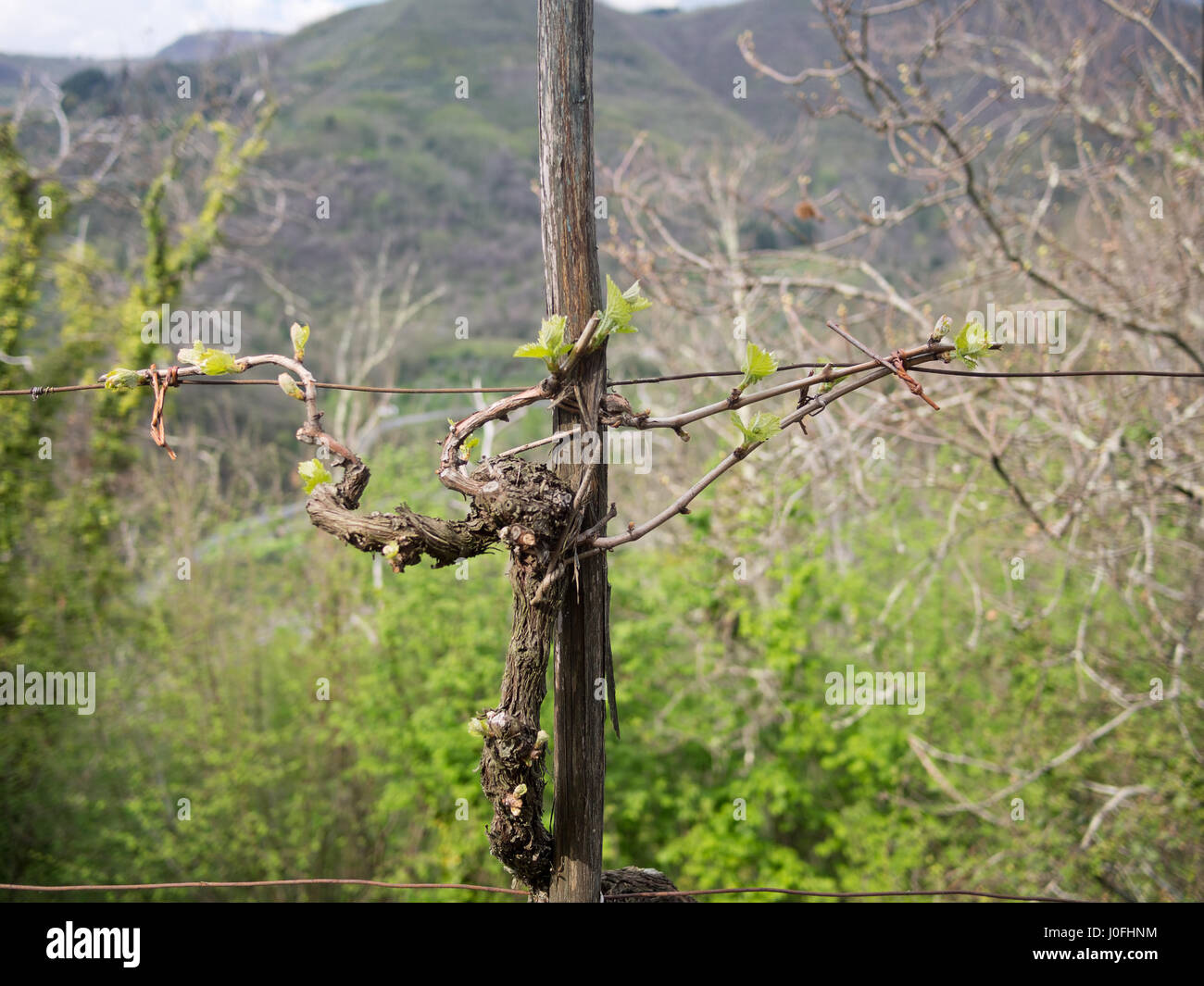 Italian grapevine. Old plant with new growth in spring. Traditionally trained. - Stock Image