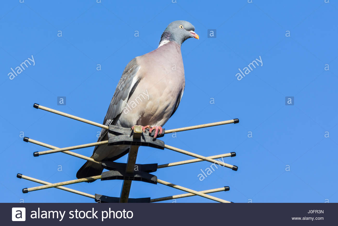 Common Woodpigeon (Columba palumbus) perched on a TV aerial against blue sky, in the UK. - Stock Image