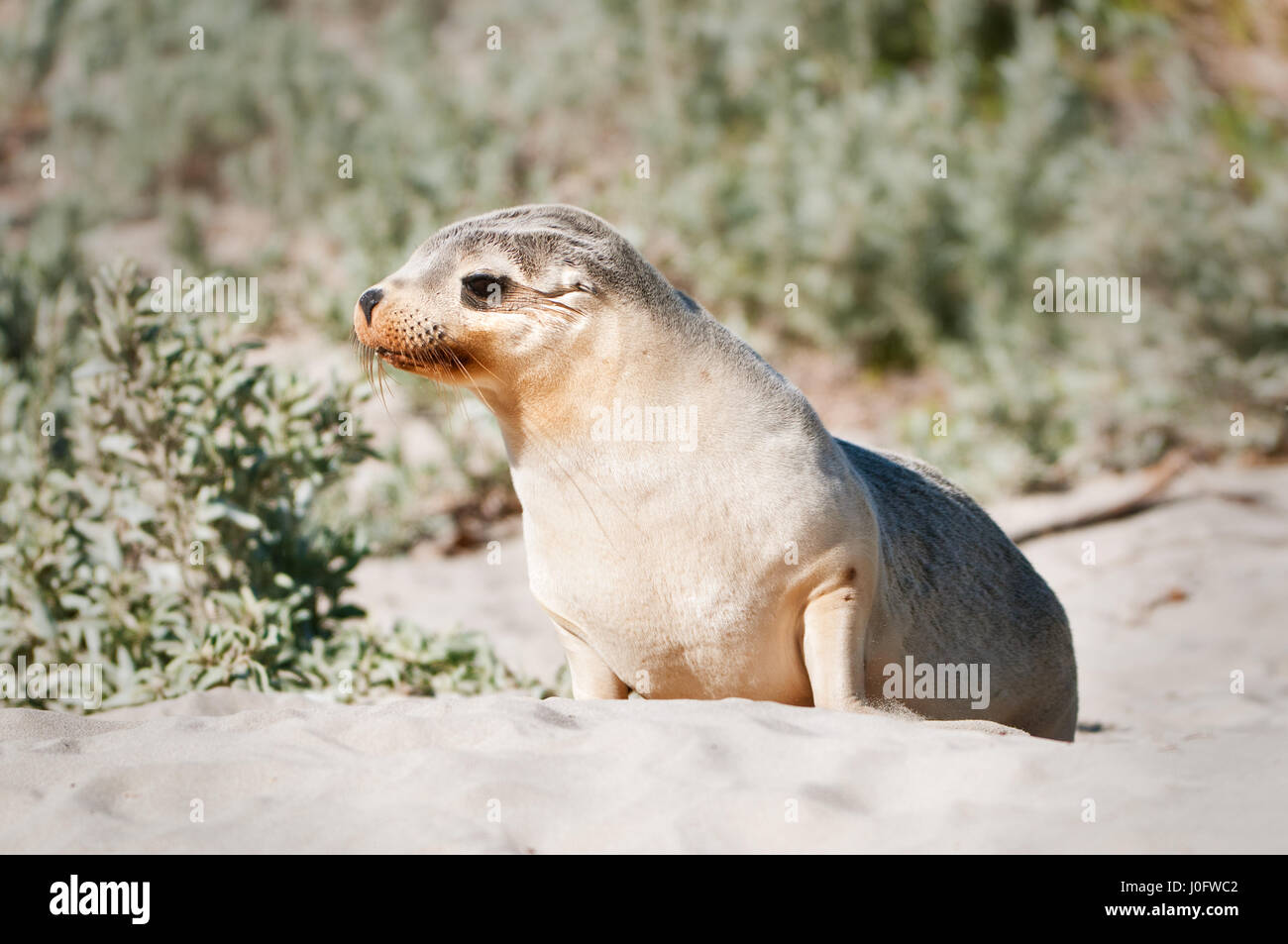 Juvenile Australian Sea-lion curiously looking. Stock Photo