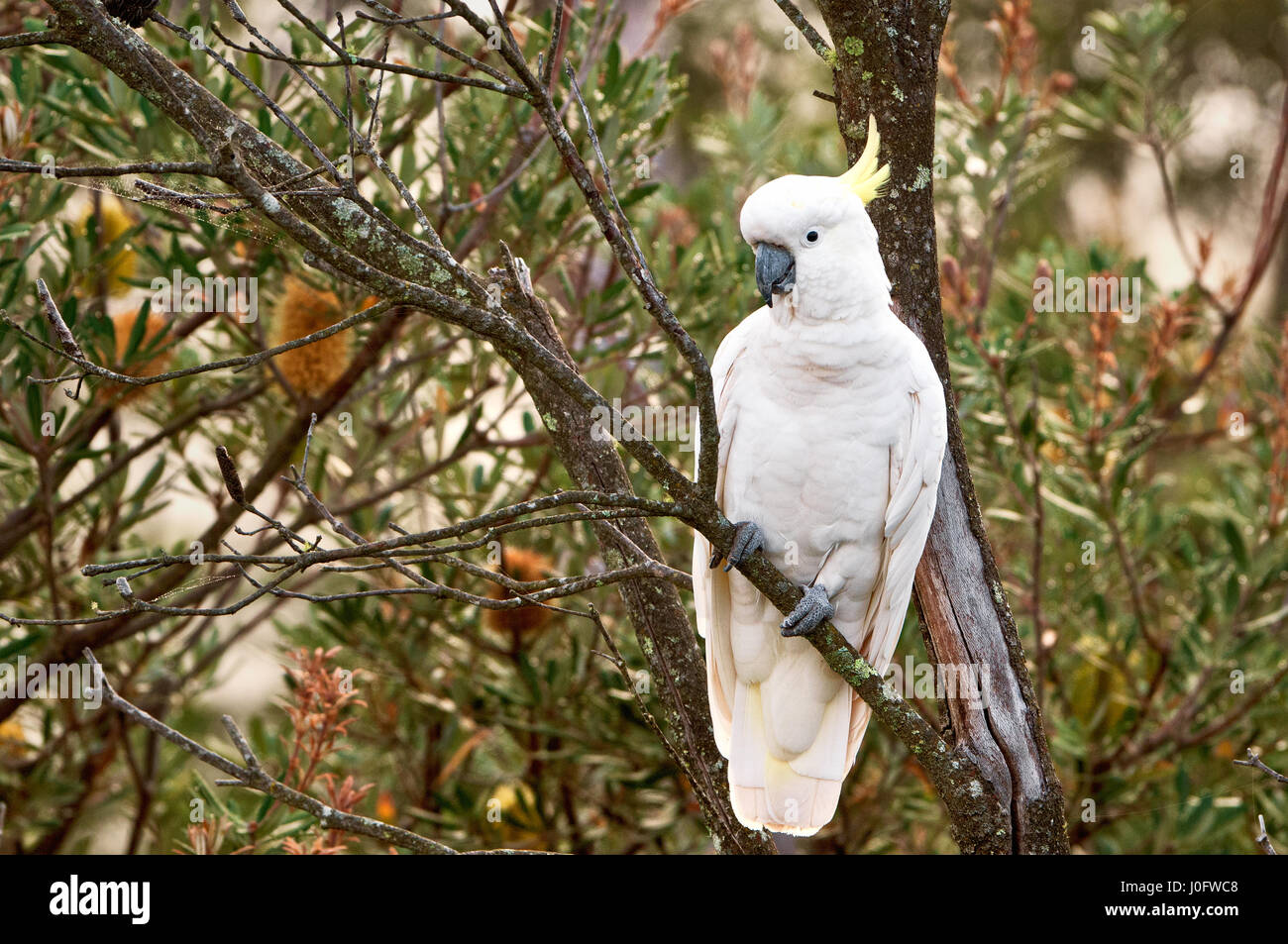 Sulphur-crested Cockatoo sitting in a tree. - Stock Image