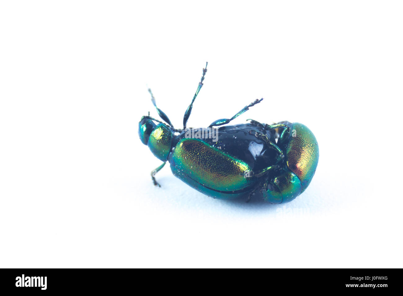 Mint leaf beetles, female, upside down, green metallic color (Chrysolina herbacea) in the family of Chrysomelidae Stock Photo