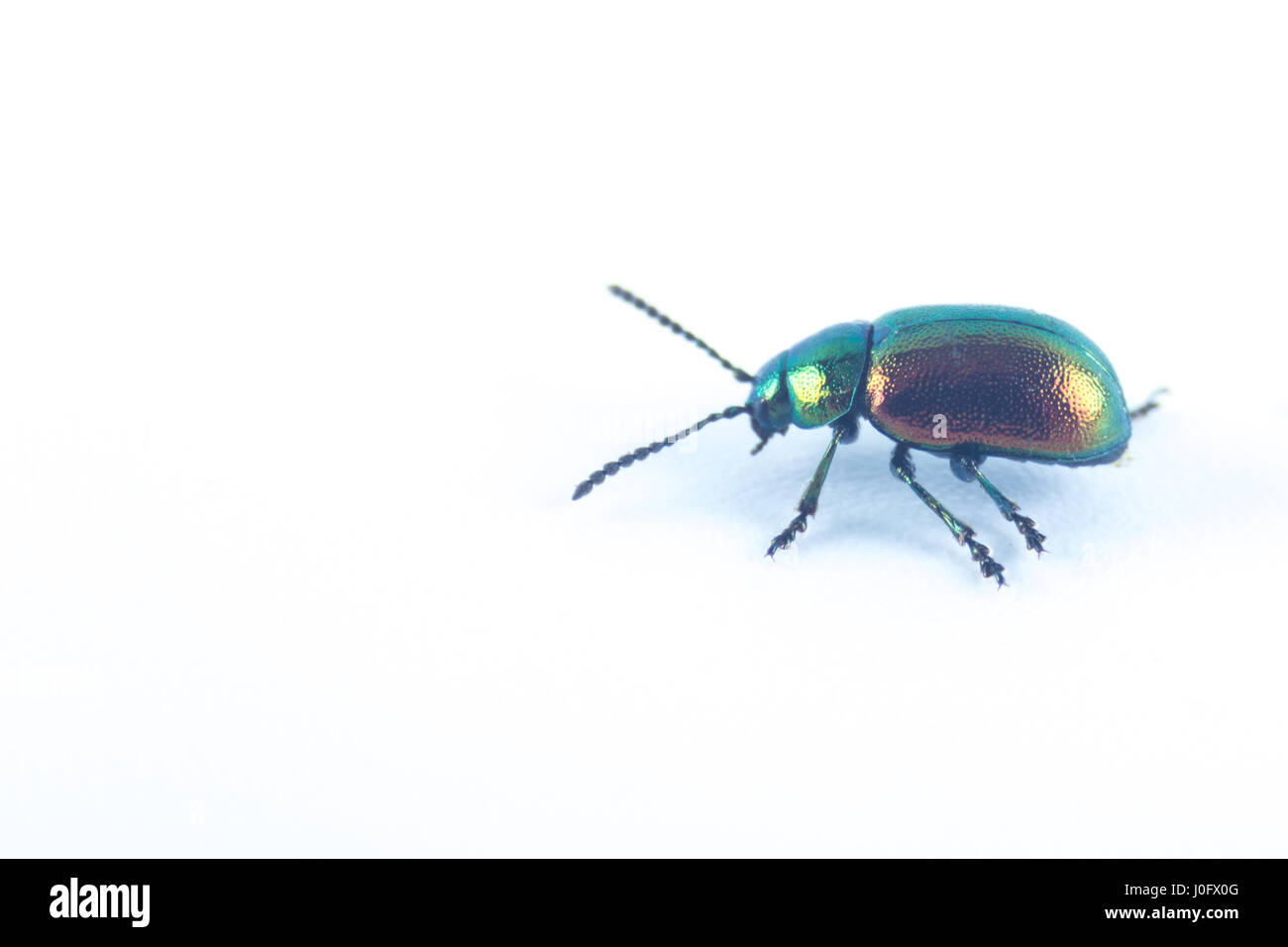 Mint leaf green beetle with green red orange metallic color (Chrysolina herbacea) in the family of Chrysomelidae Stock Photo