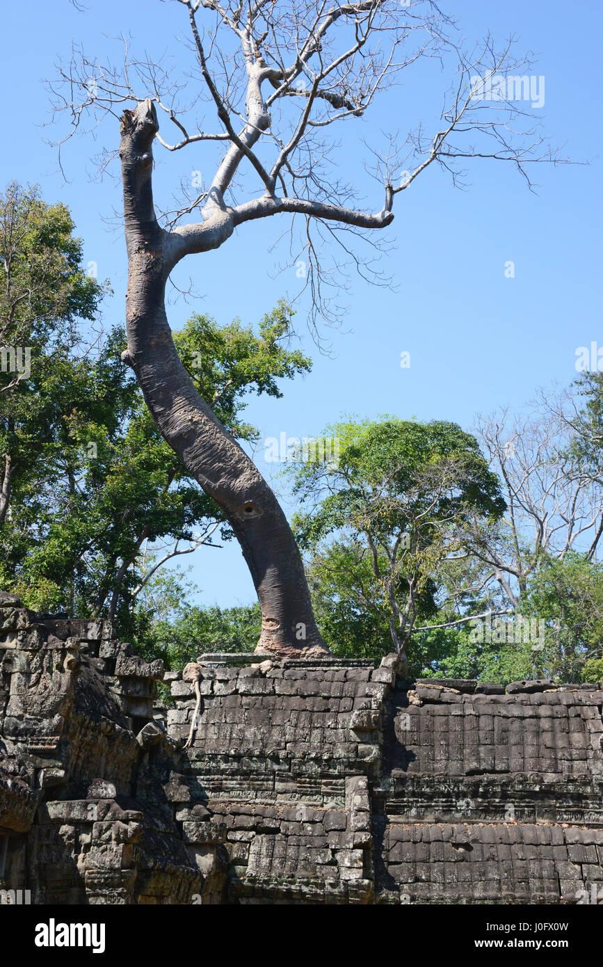 Trees and temple ruins at Ta Prohm, Angkor, Cambodia - Stock Image