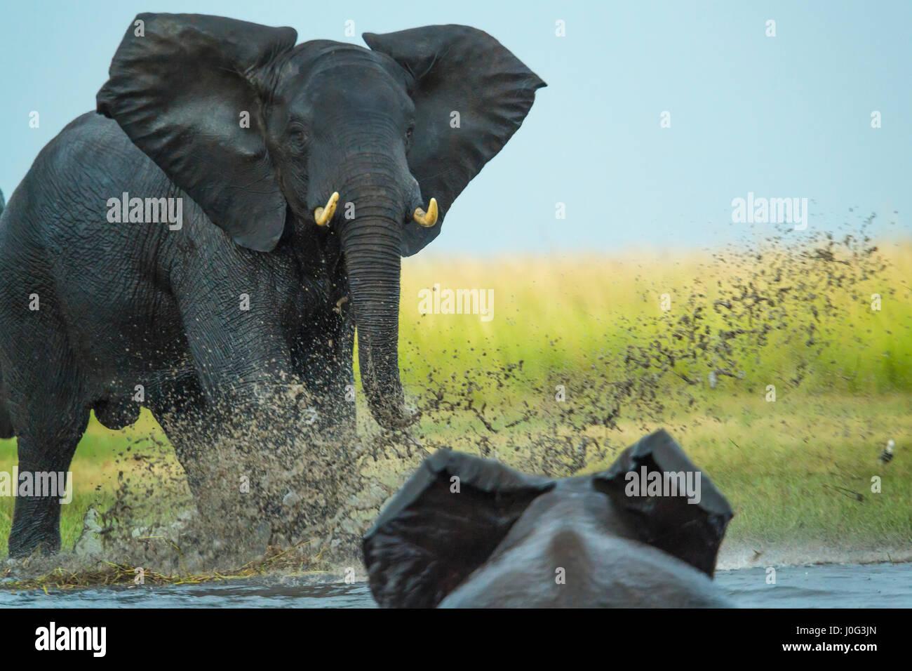 Elephant play charging other elephant, Chobe Nat Pk, Botswana, Africa - Stock Image