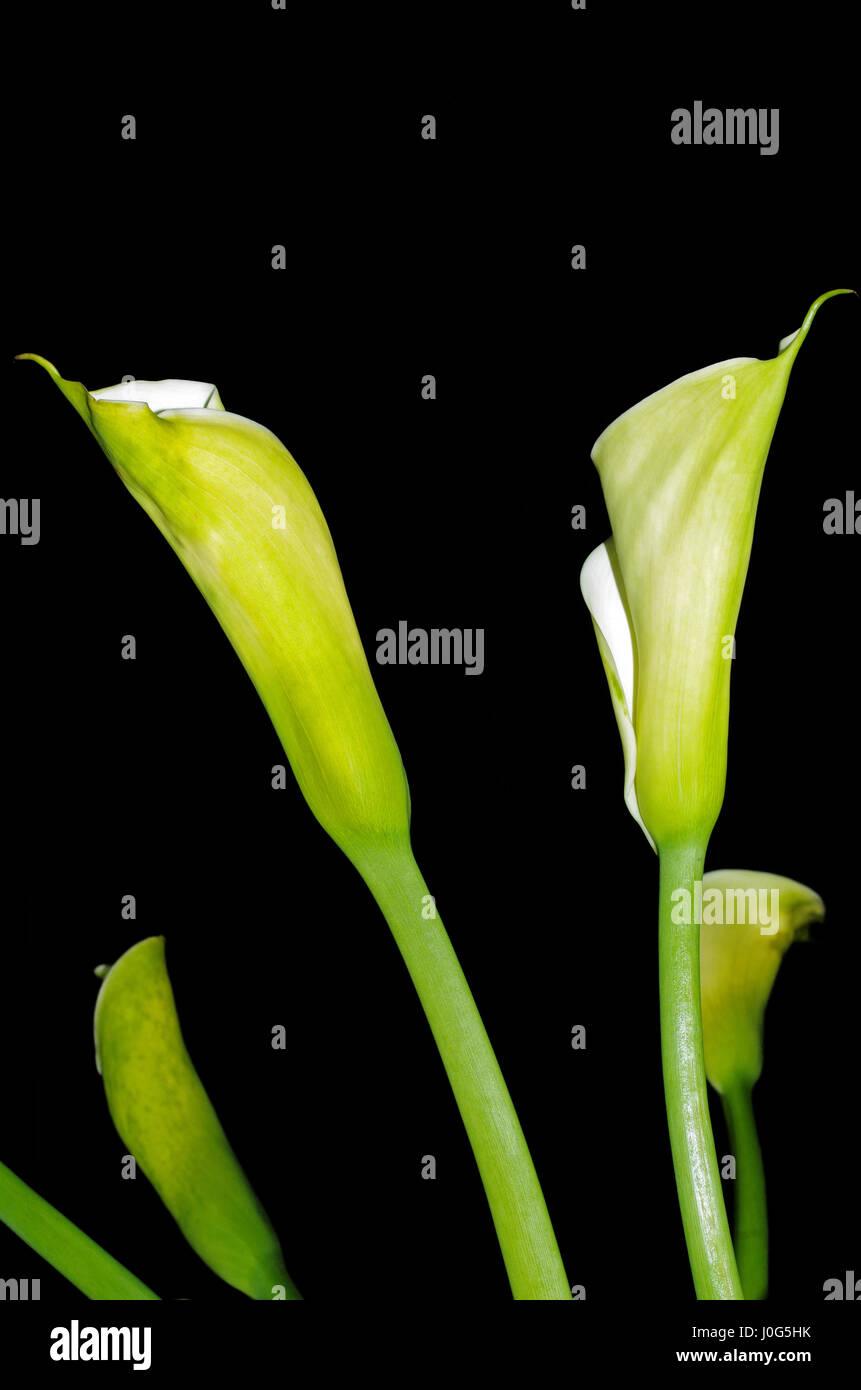 Water aurum (calla palustris) Stock Photo
