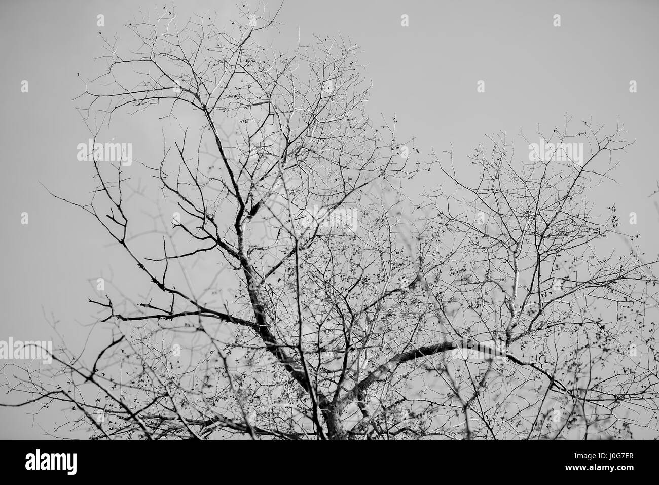 Tree branches silhouette against clear sky  Black and white