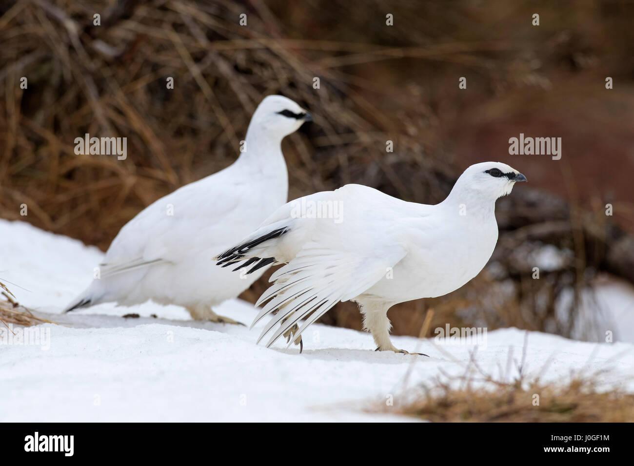 Two rock ptarmigans (Lagopus muta / Lagopus mutus) in winter plumage - Stock Image