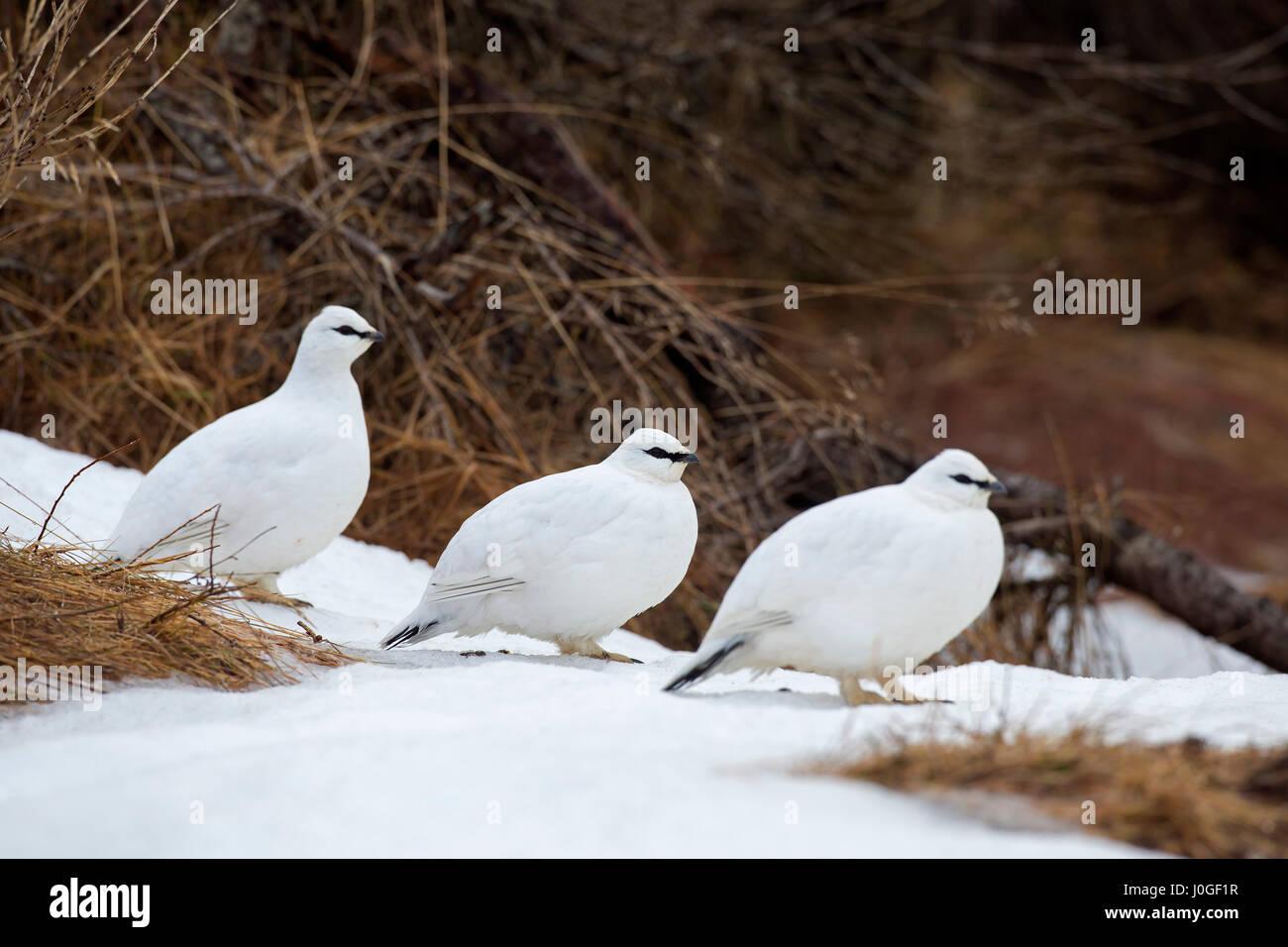 Three rock ptarmigans (Lagopus muta / Lagopus mutus) in winter plumage - Stock Image