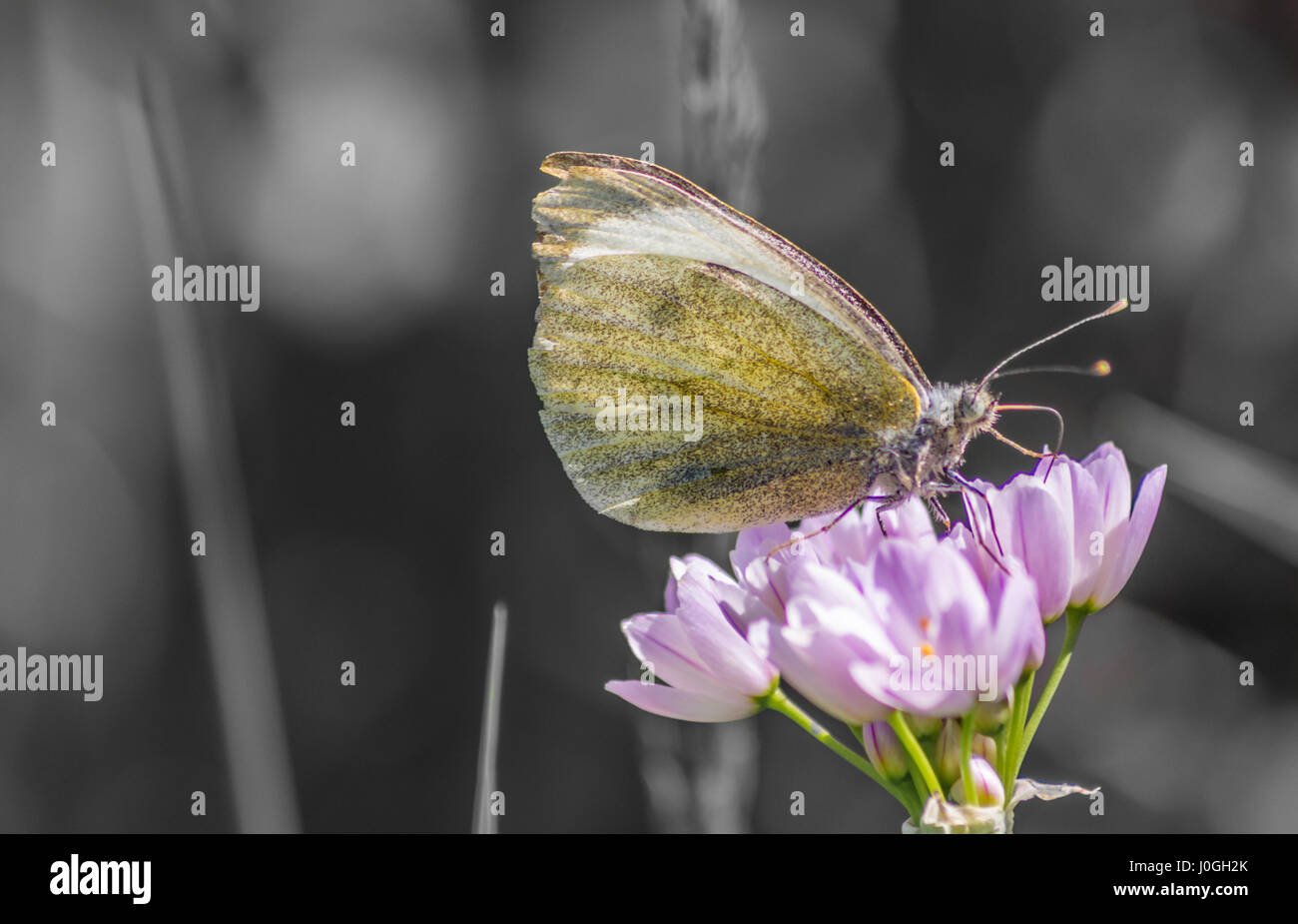 Macro shot of a Clouded Yellow Butterfly. Stock Photo