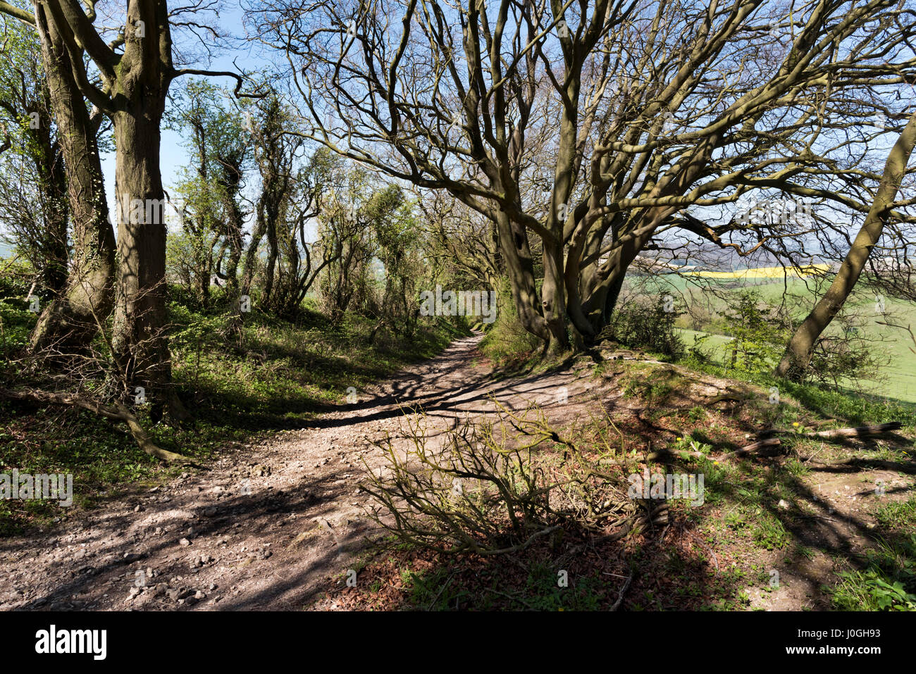 The South Downs Way National Trail, with ancient tree,  East Meon, Hampshire, UK - Stock Image