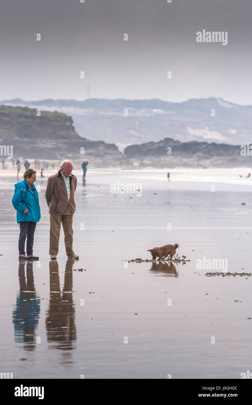 Gwithian Towans beach; Dog; Owners; Pet; Digging; Sand; Low tide; Dog walkers; Cornwall - Stock Image