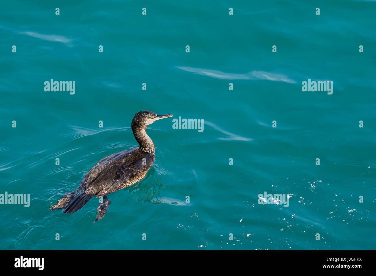 Cormorant; Phalacrocoracidae; Aquatic bird; Water; Sea; Wild bird - Stock Image
