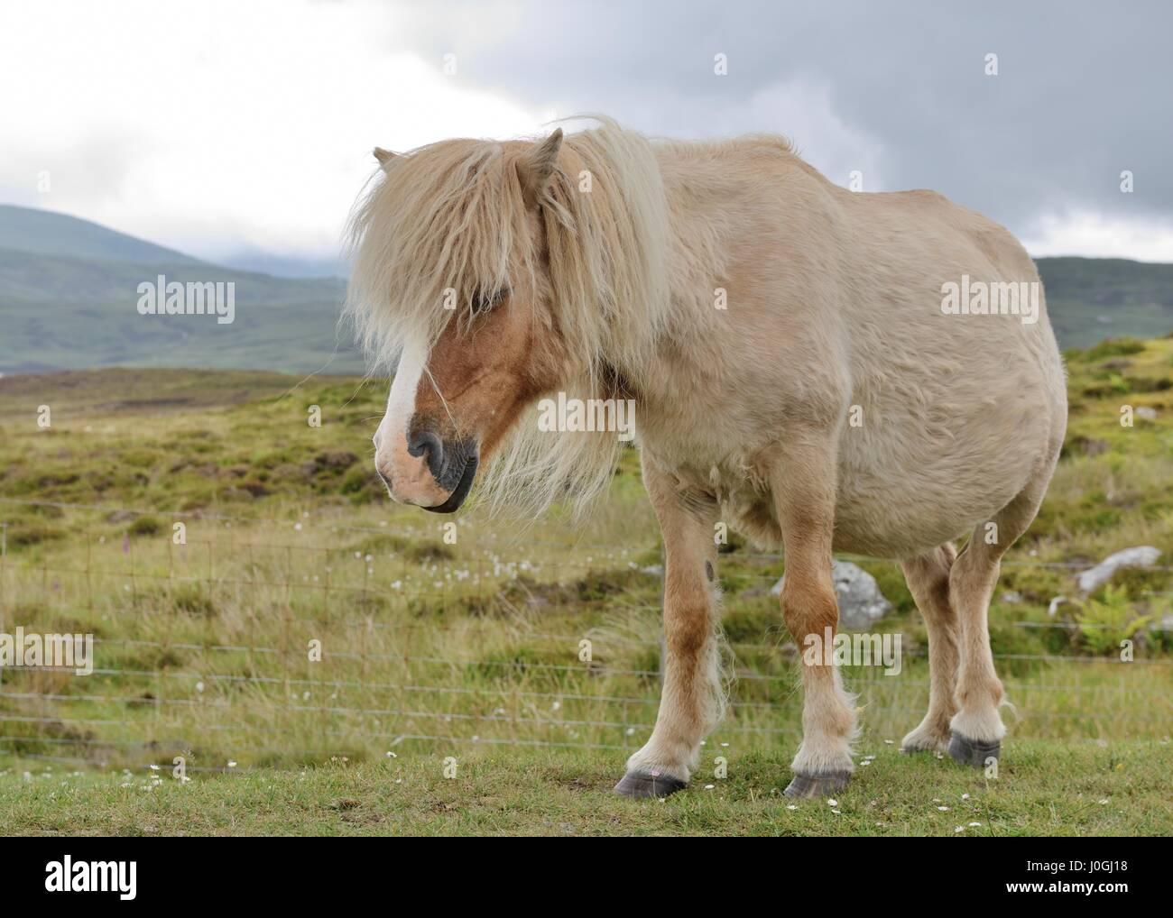 Wild Eriskay pony (Equus ferus caballus) on South Uist, Outer Hebrides, Scotland, UK - Stock Image