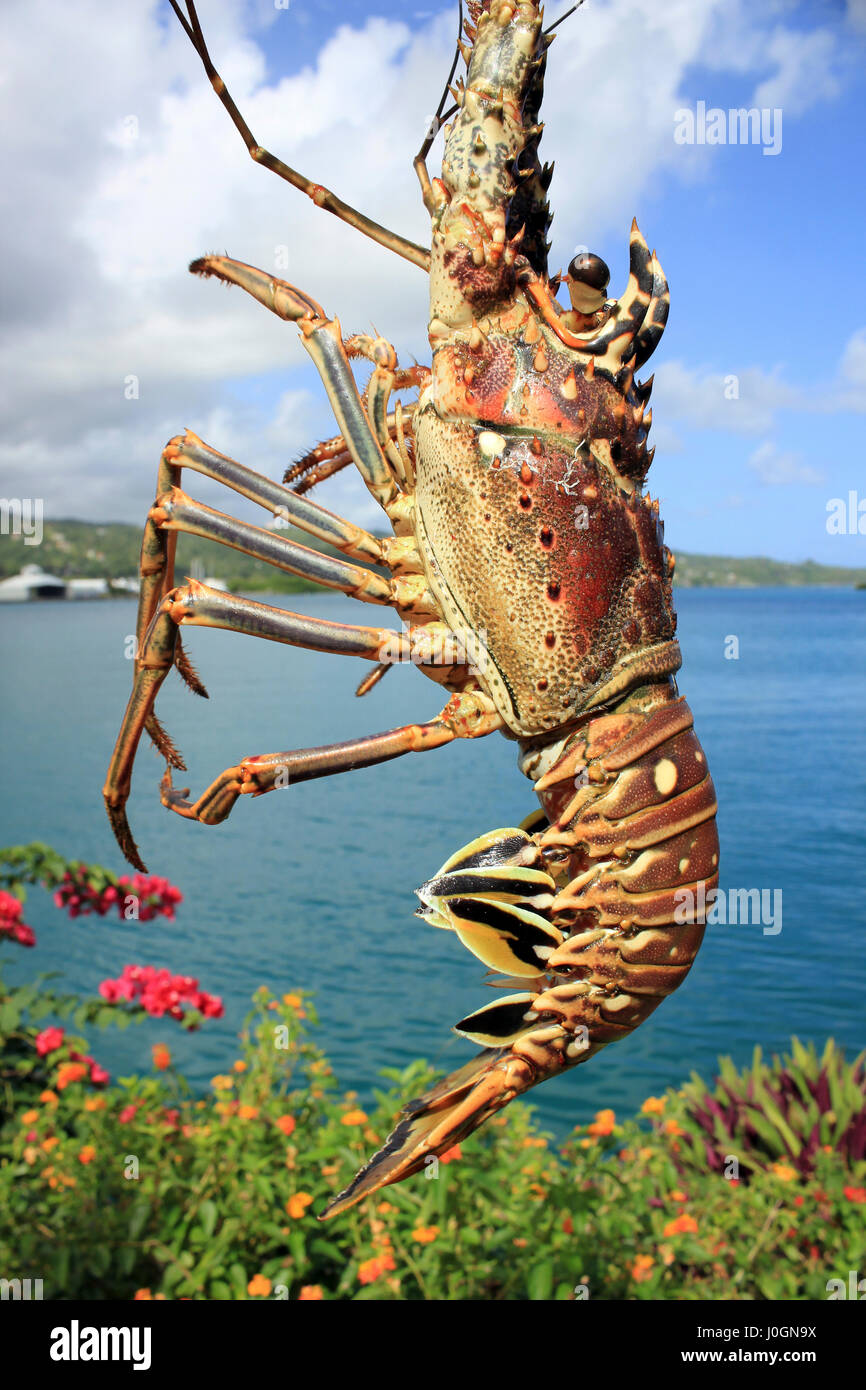 Caribbean Spiny Lobster Panulirus argus - Stock Image