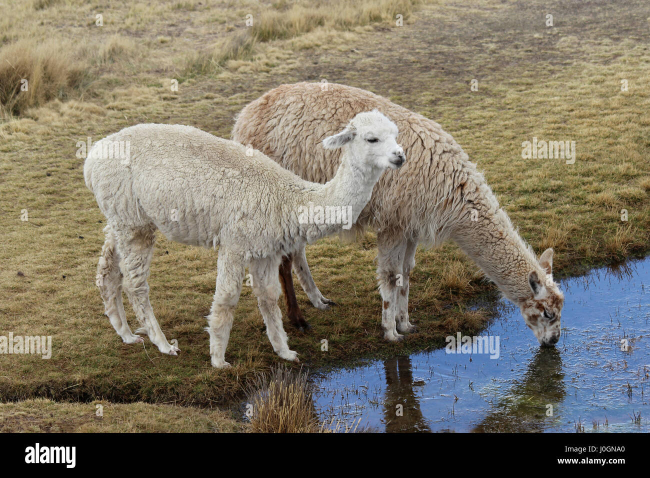 Llamas Drinking From Andean Lake - Stock Image