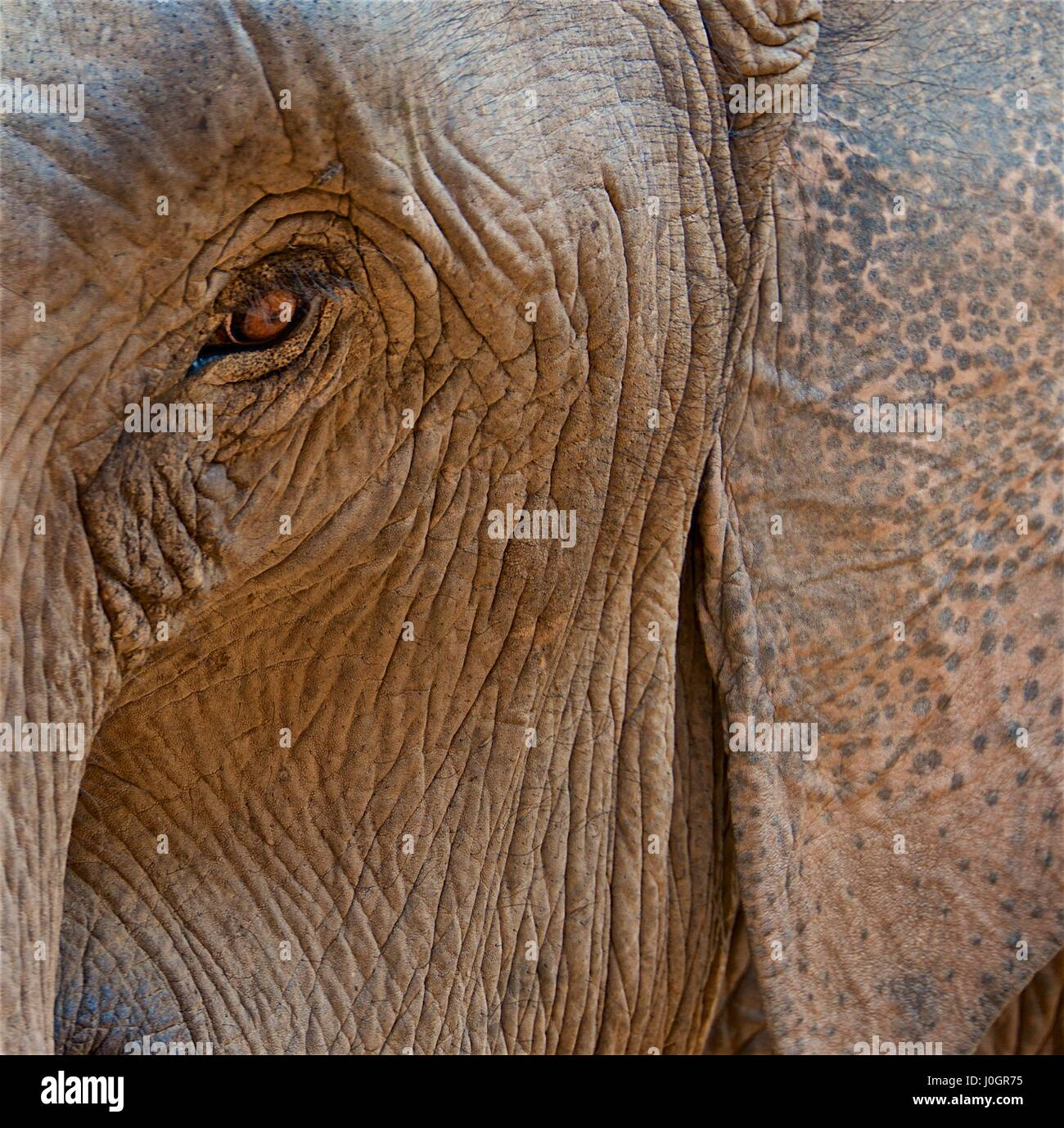 Elephant face with eye surrounded by wrinkles - Stock Image