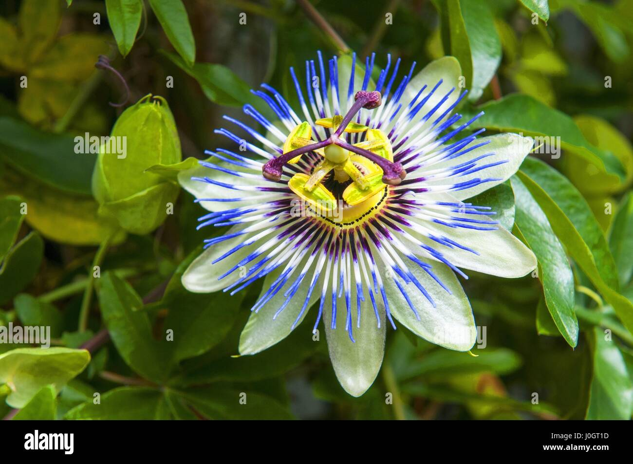 Passiflora Caerulea The Blue Passionflower Bluecrown Passionflower