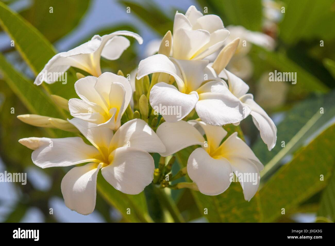White flowers on a frangipani tree white plumeria an ornamental white flowers on a frangipani tree white plumeria an ornamental tropical plant thailand mightylinksfo