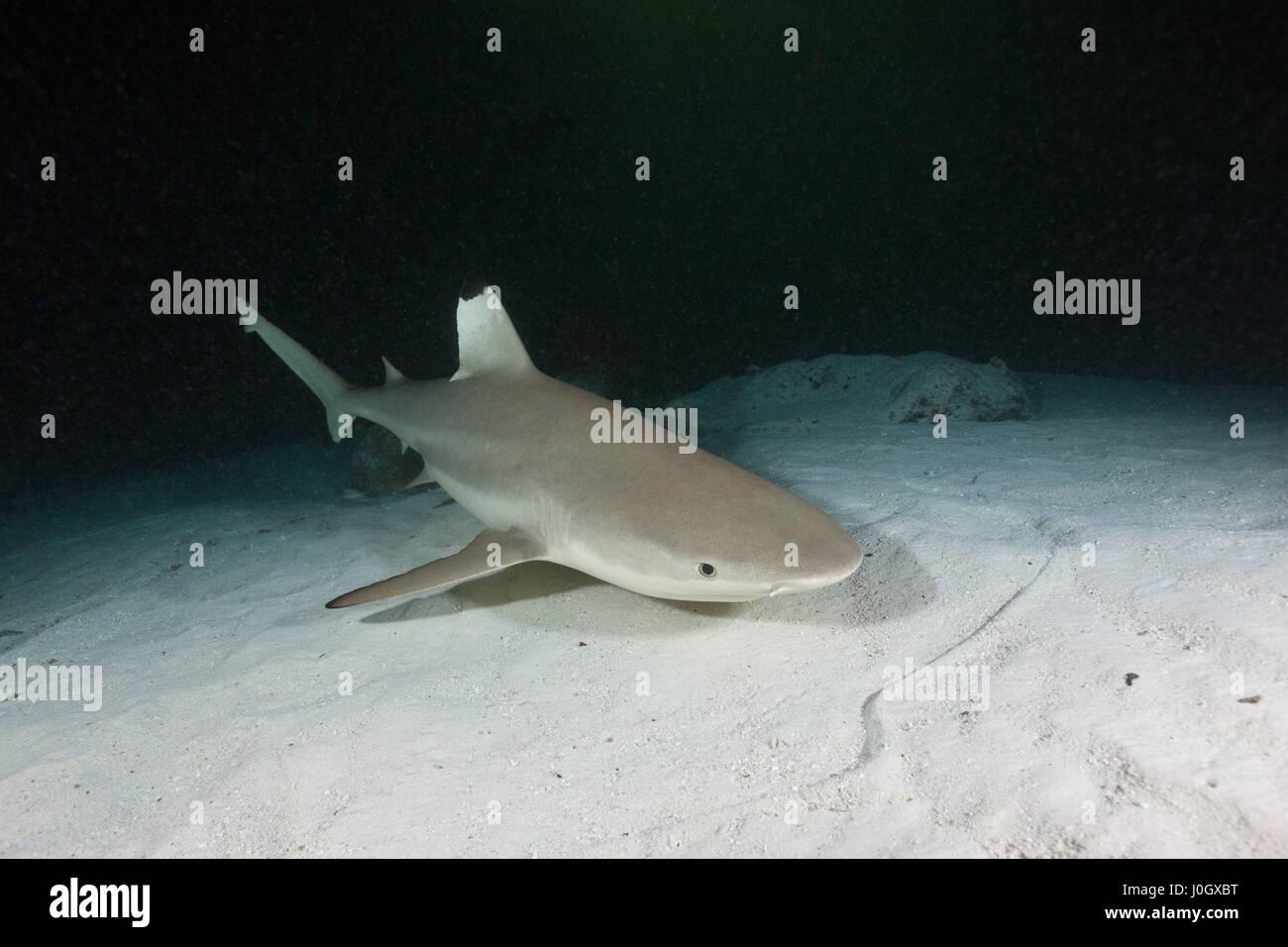 Blacktip Reef Shark, Carcharhinus melanopterus, Felidhu Atoll, Maldives Stock Photo