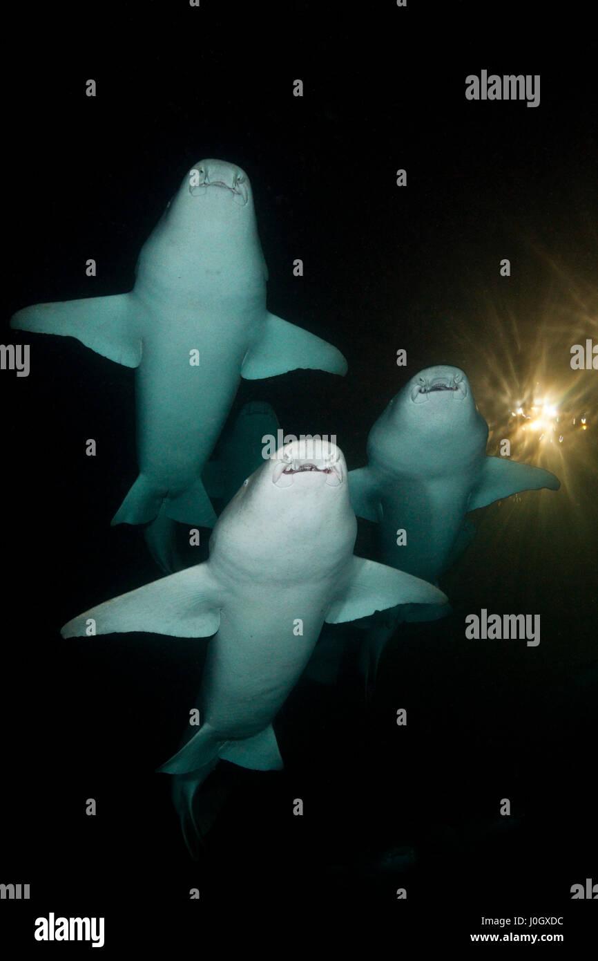 Group of Nurse Shark at Night, Nebrius ferrugineus, Felidhu Atoll, Maldives - Stock Image