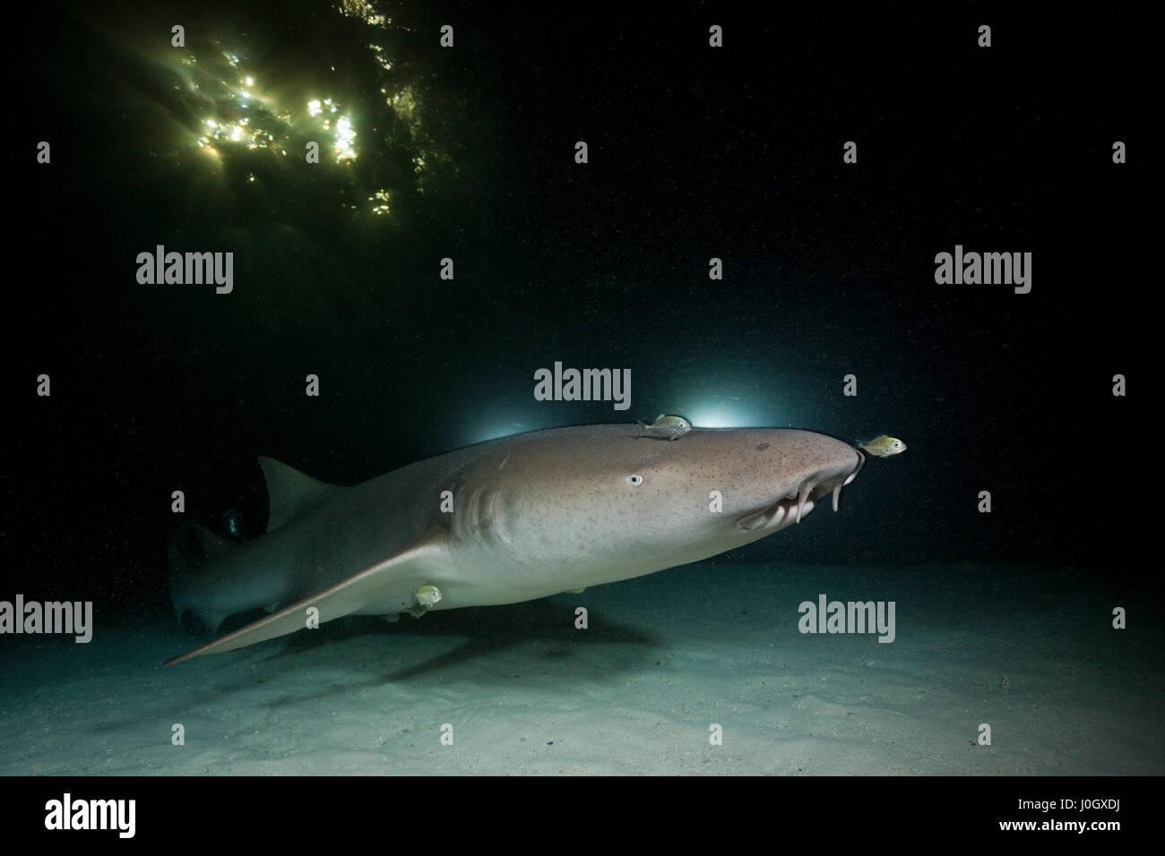 Nurse Shark at Night, Nebrius ferrugineus, Felidhu Atoll, Maldives - Stock Image