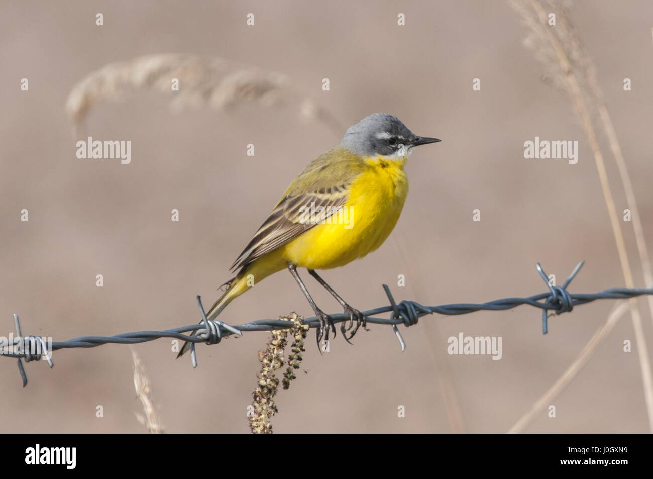 The western yellow wagtail (Motacilla flava). - Stock Image