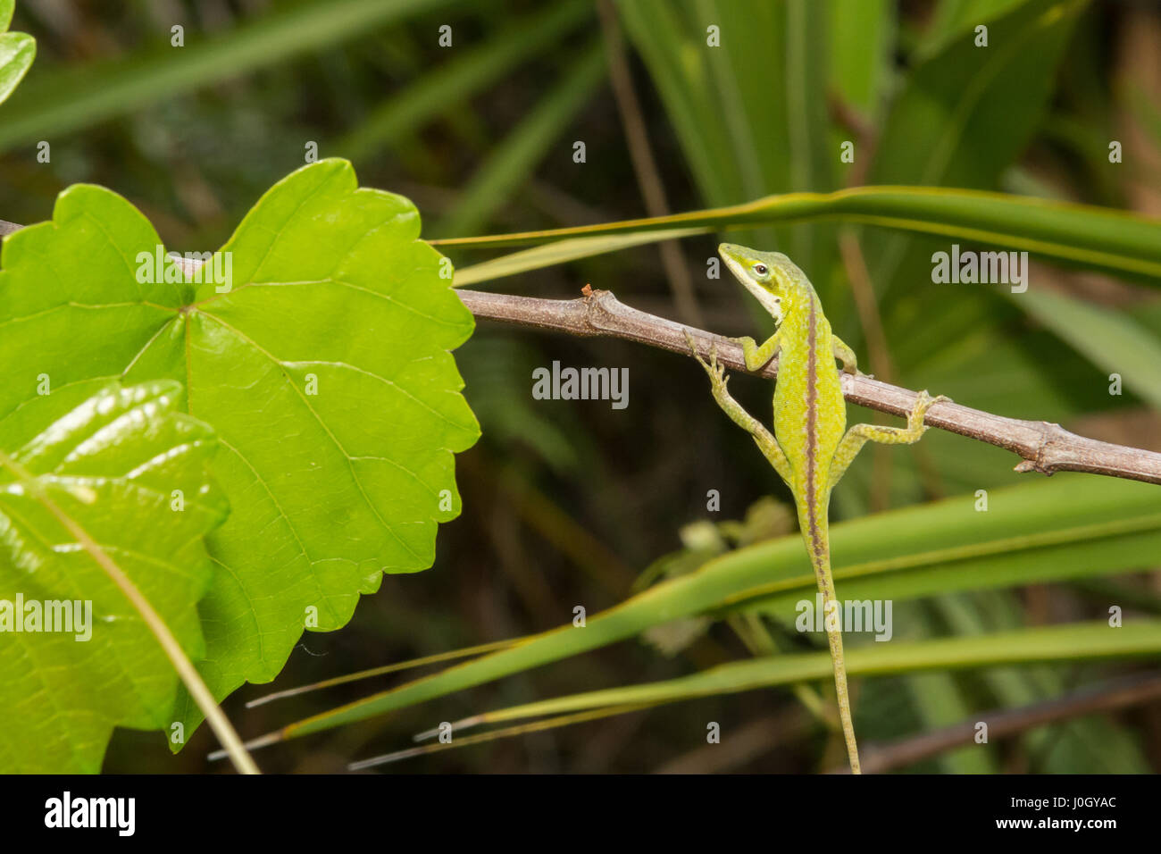 A Green Anole hanging from a branch at Apalachicola National Forest. - Stock Image