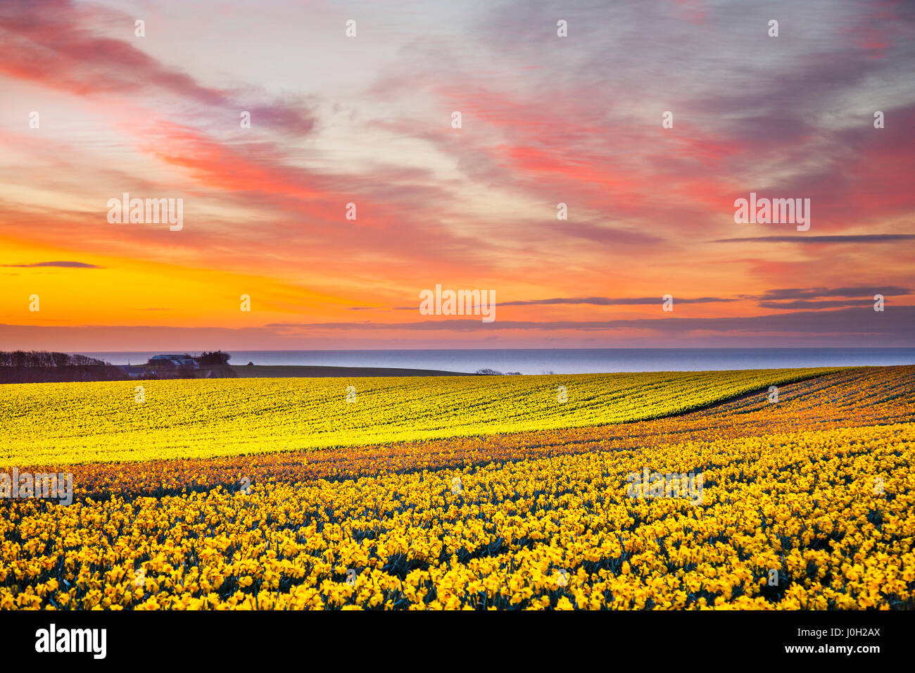 Kinneff, Aberdeenshire,  UK Weather,  13th April, 2071. Sunrise over the commercial daffodil fields of Scotland - Stock Image