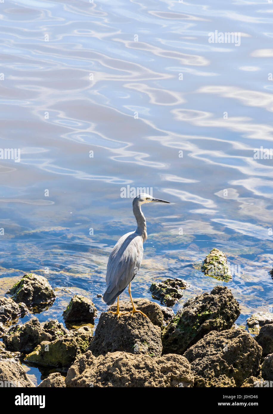 White-faced heron perched on a rock on the shore of the Swan River, Western Australia - Stock Image
