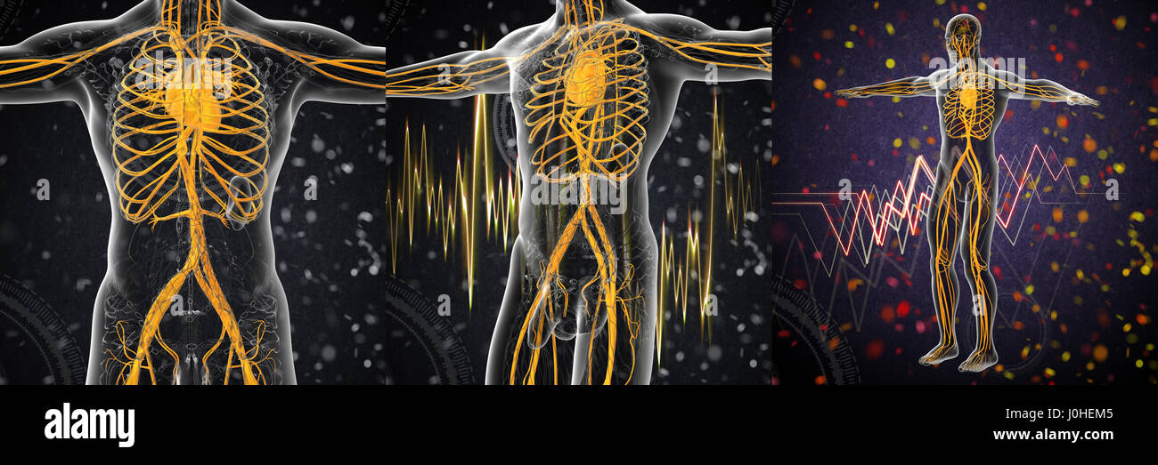Human Vascular System Stock Photos & Human Vascular System Stock ...