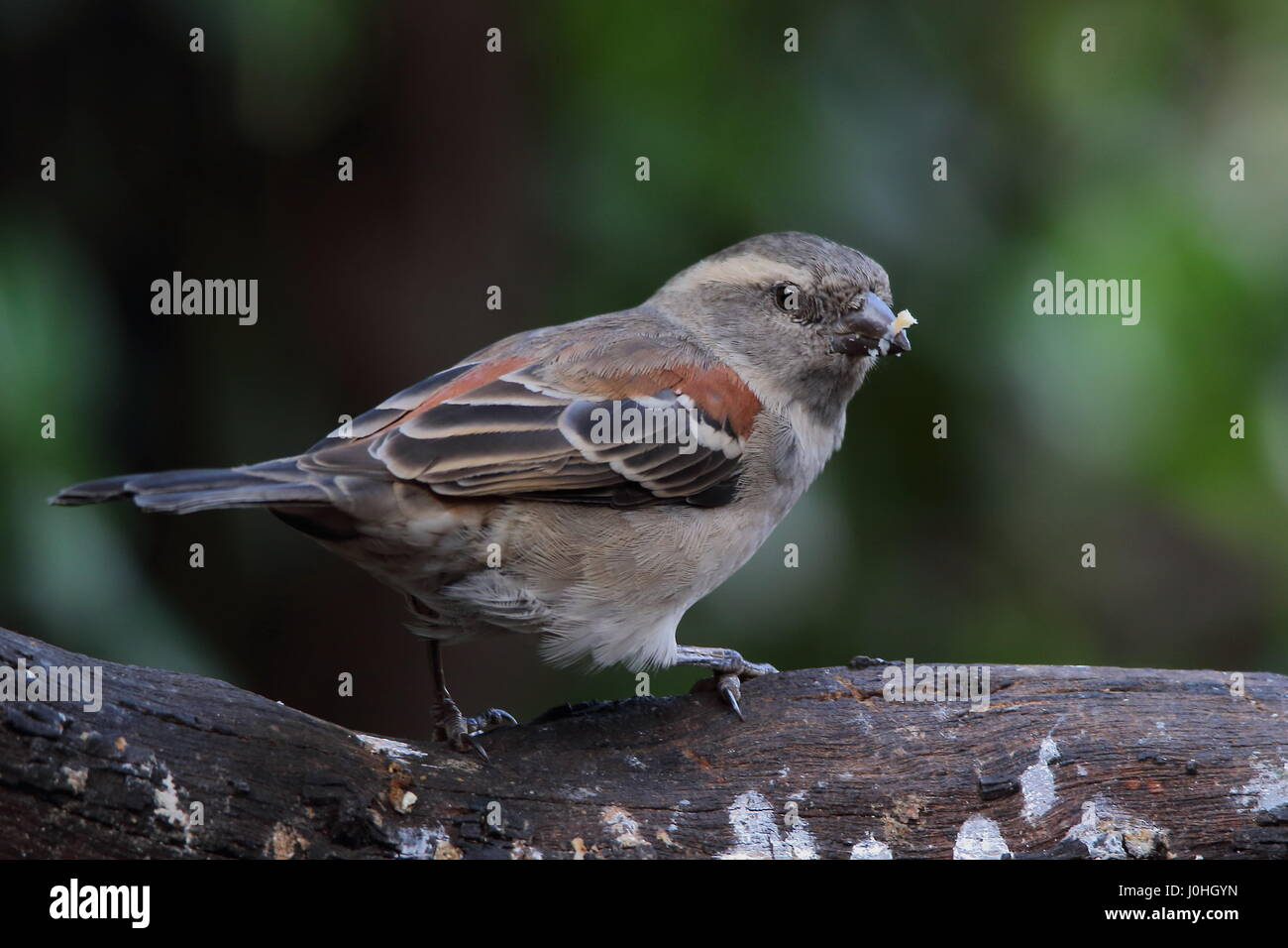 Female Cape Sparrow with food stuck on its bill Stock Photo