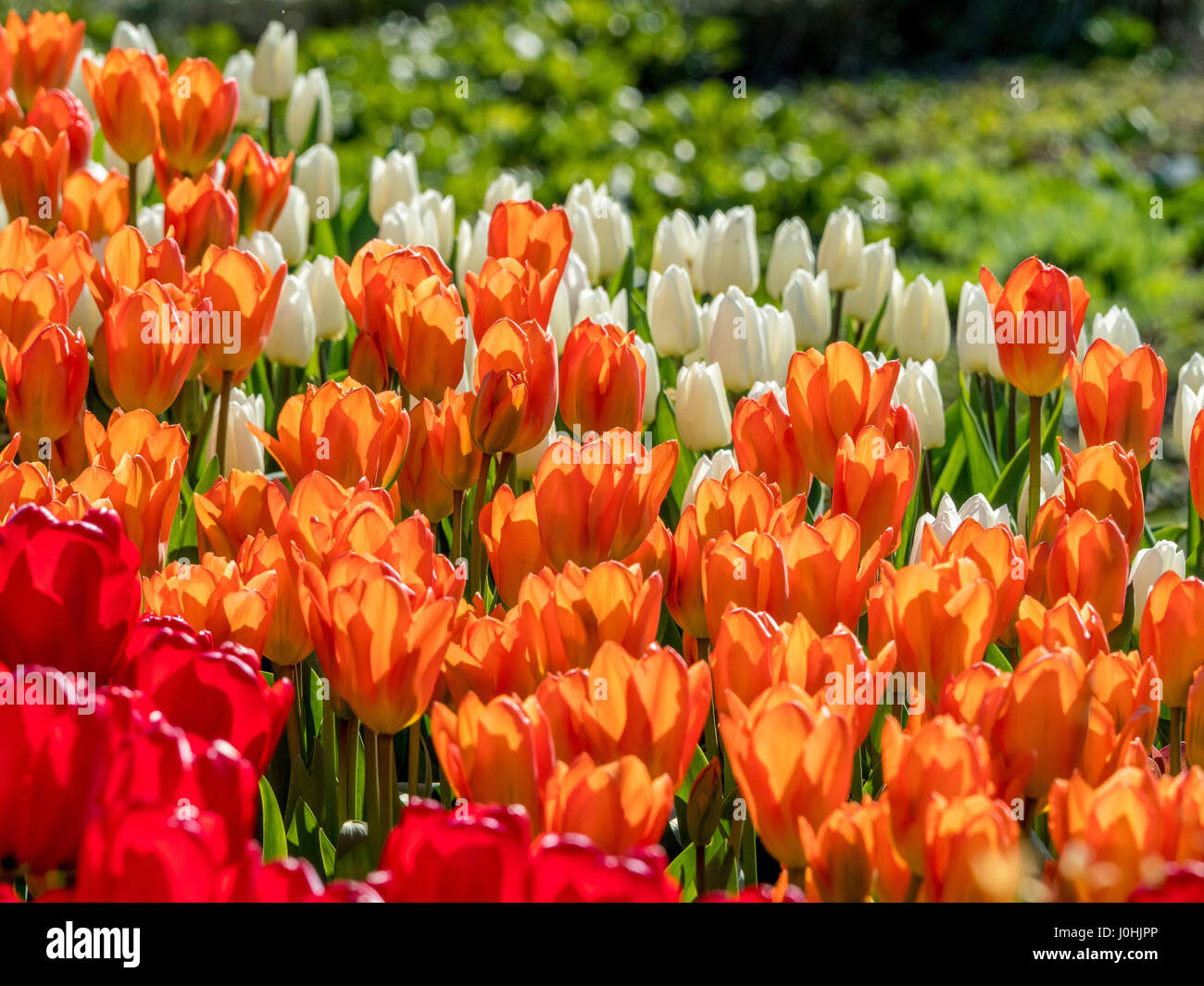 White, orange and red tulips in Spring flower bed outdoors - Stock Image